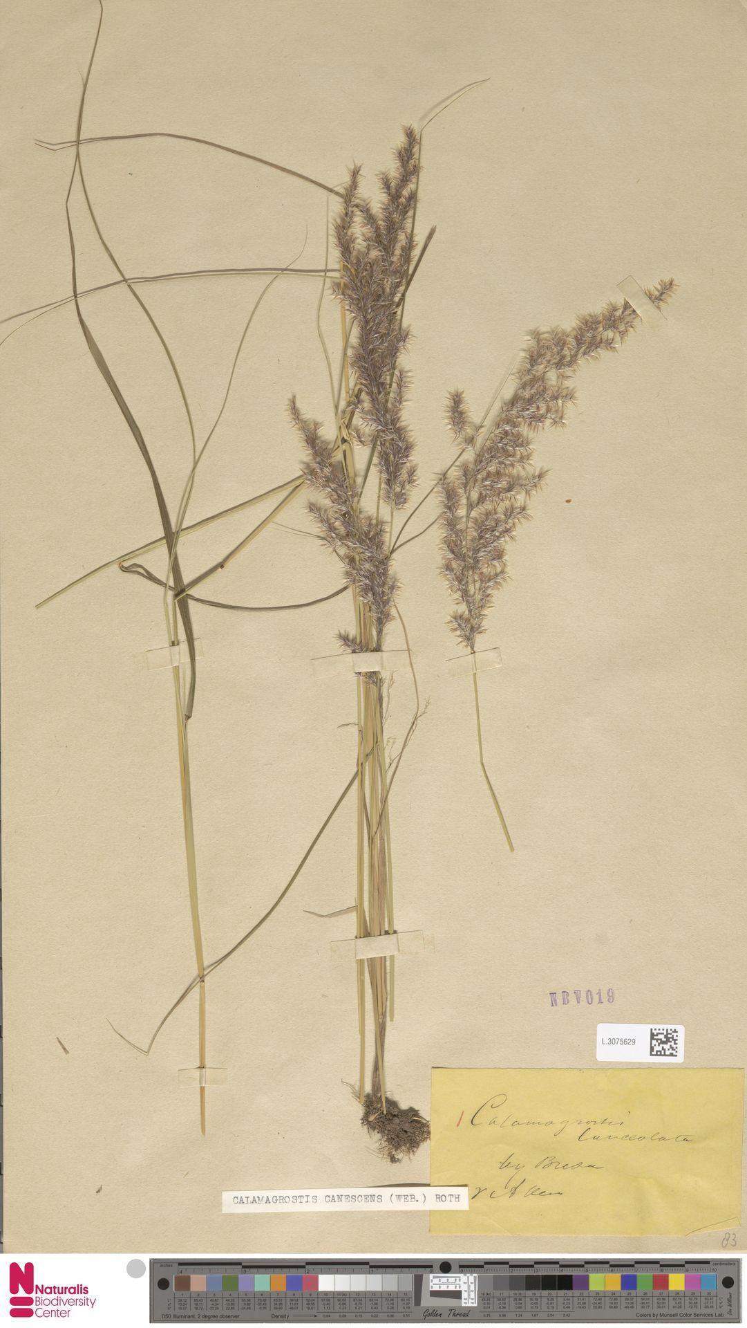L.3075629 | Calamagrostis canescens (Weber) Roth