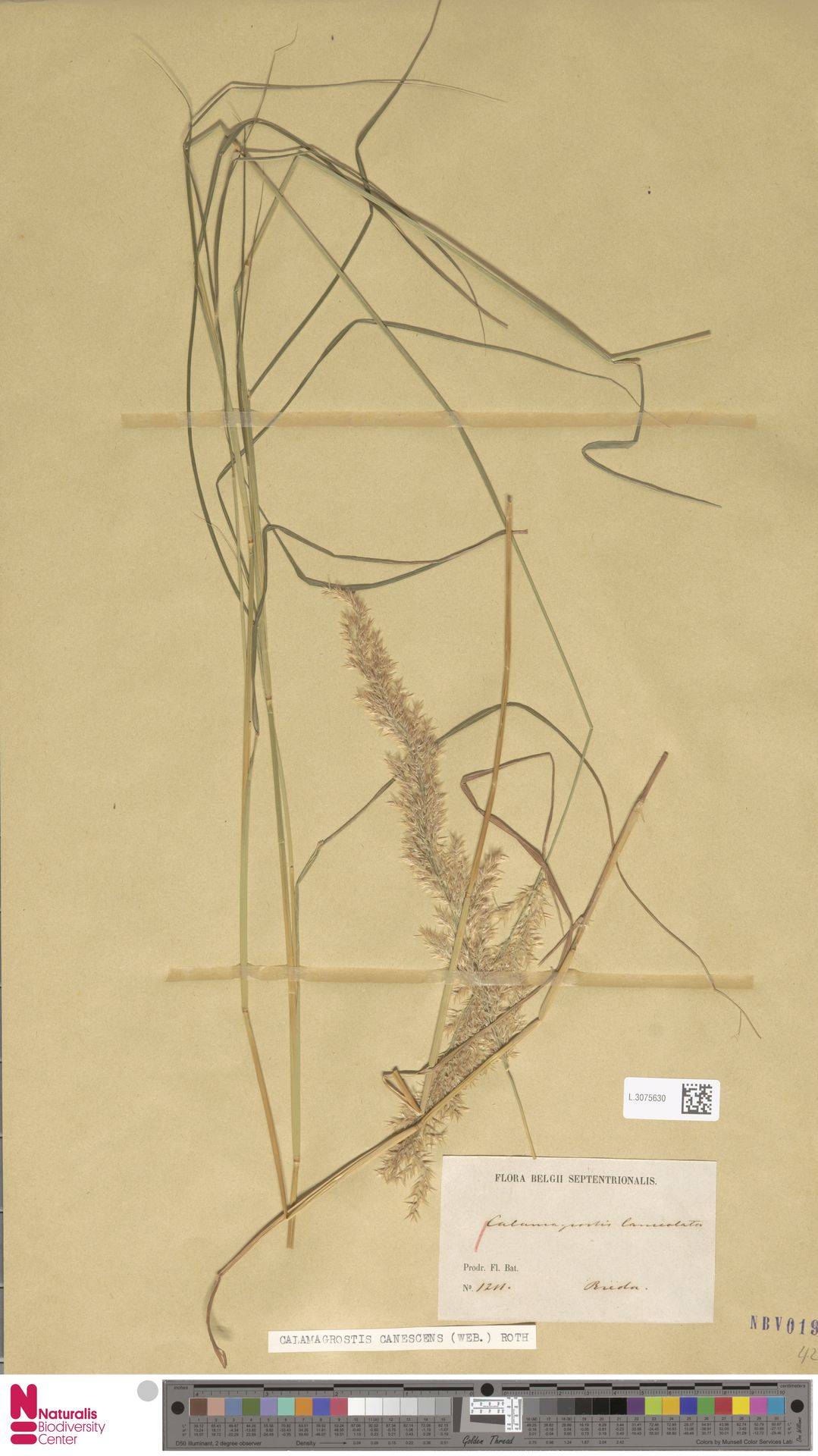 L.3075630 | Calamagrostis canescens (Weber) Roth