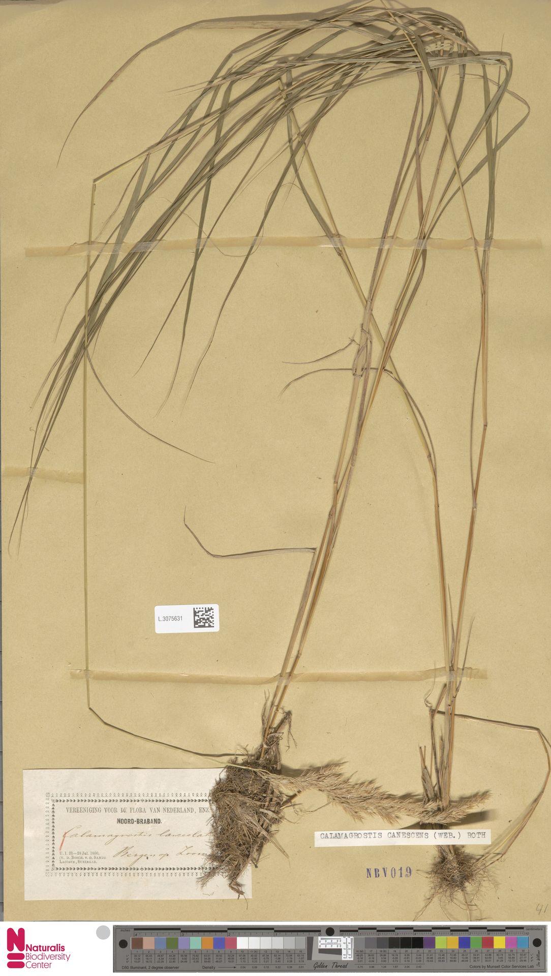 L.3075631 | Calamagrostis canescens (Weber) Roth