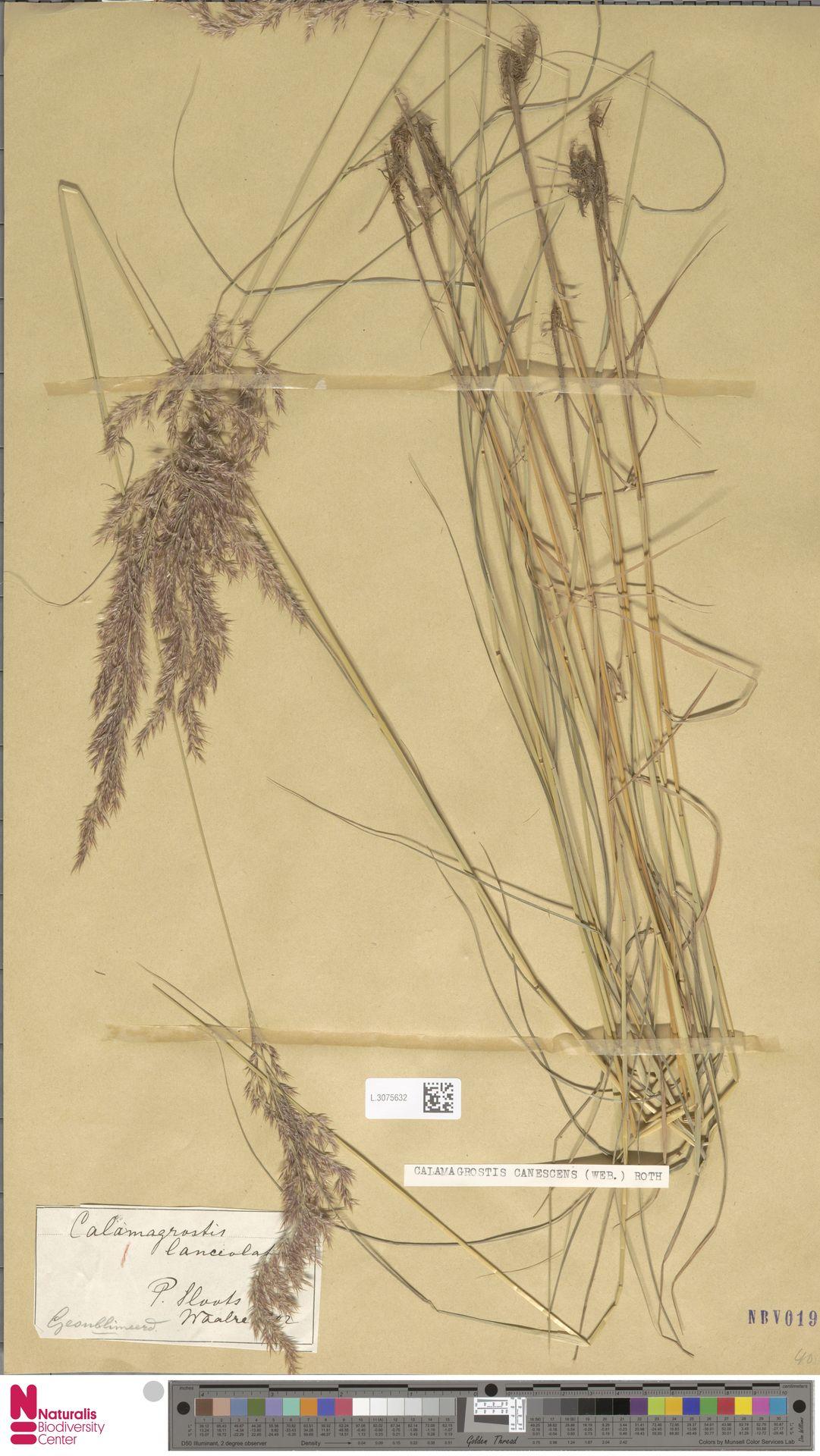 L.3075632 | Calamagrostis canescens (Weber) Roth