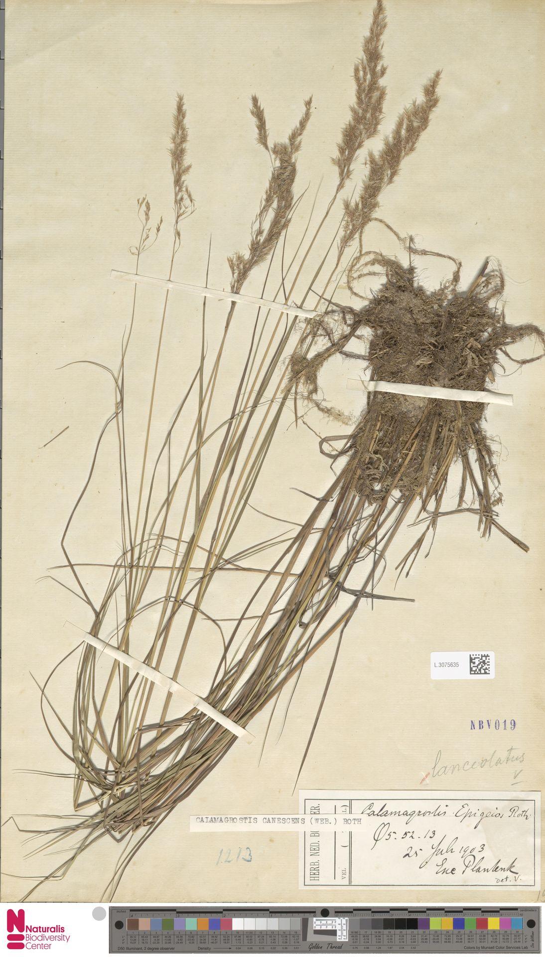 L.3075635 | Calamagrostis canescens (Weber) Roth