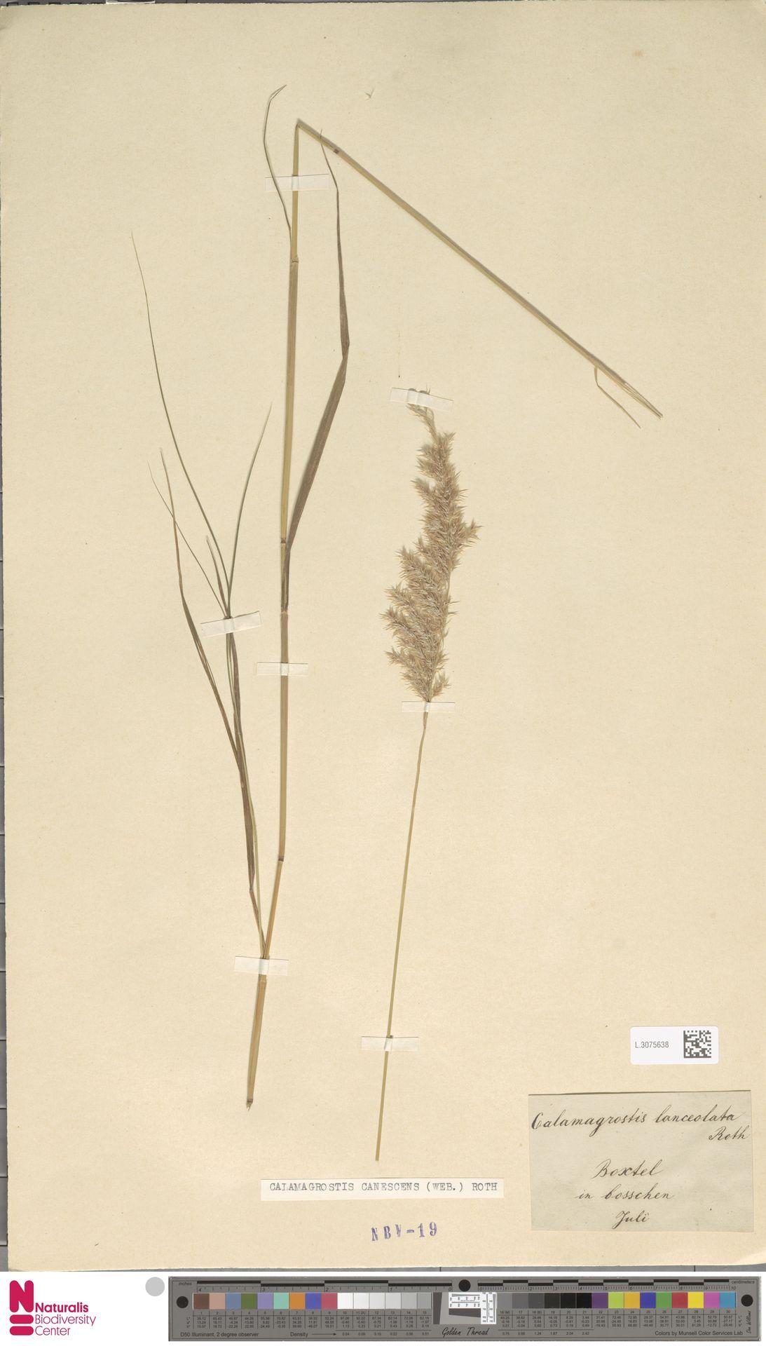 L.3075638 | Calamagrostis canescens (Weber) Roth