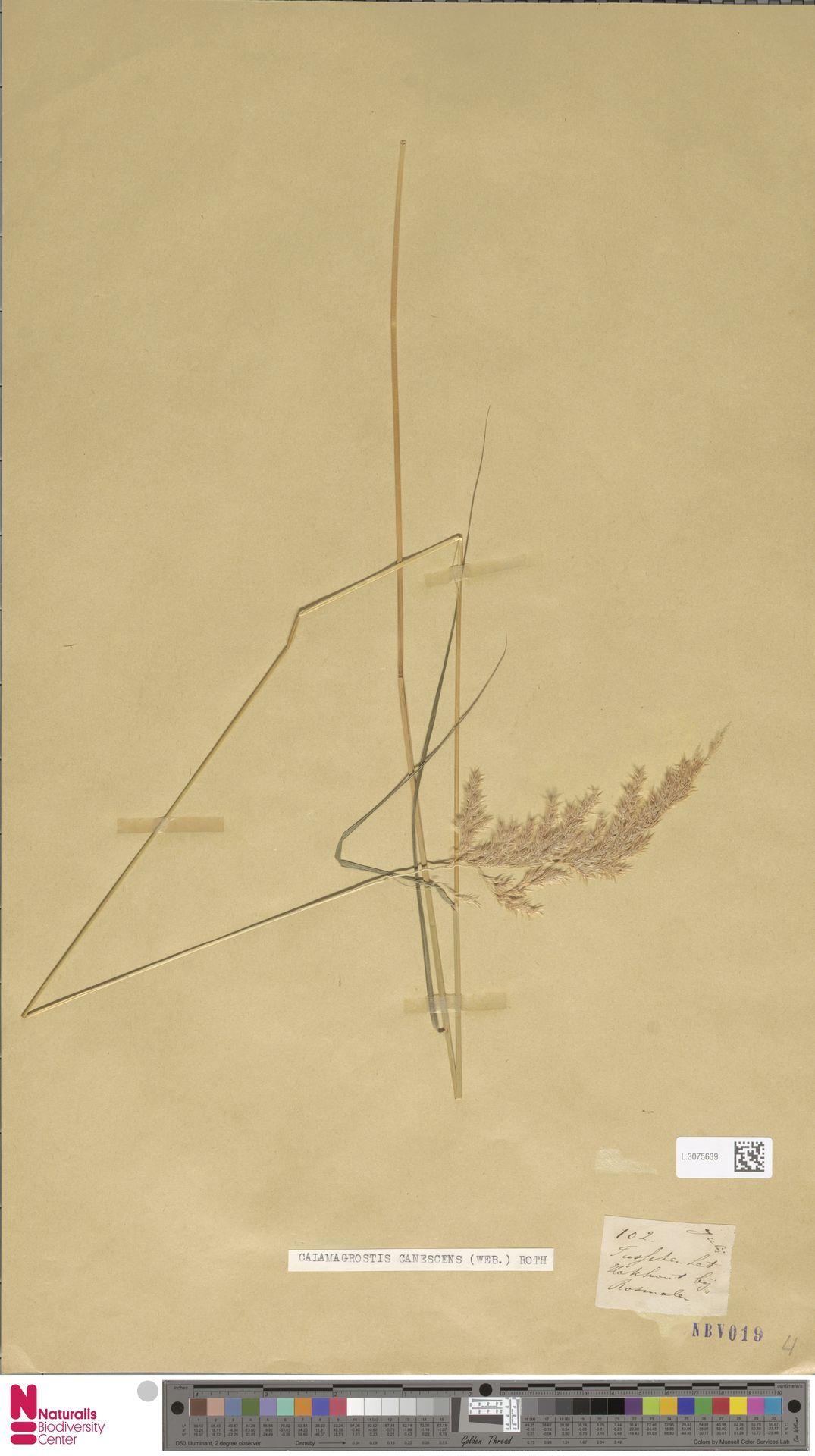 L.3075639 | Calamagrostis canescens (Weber) Roth