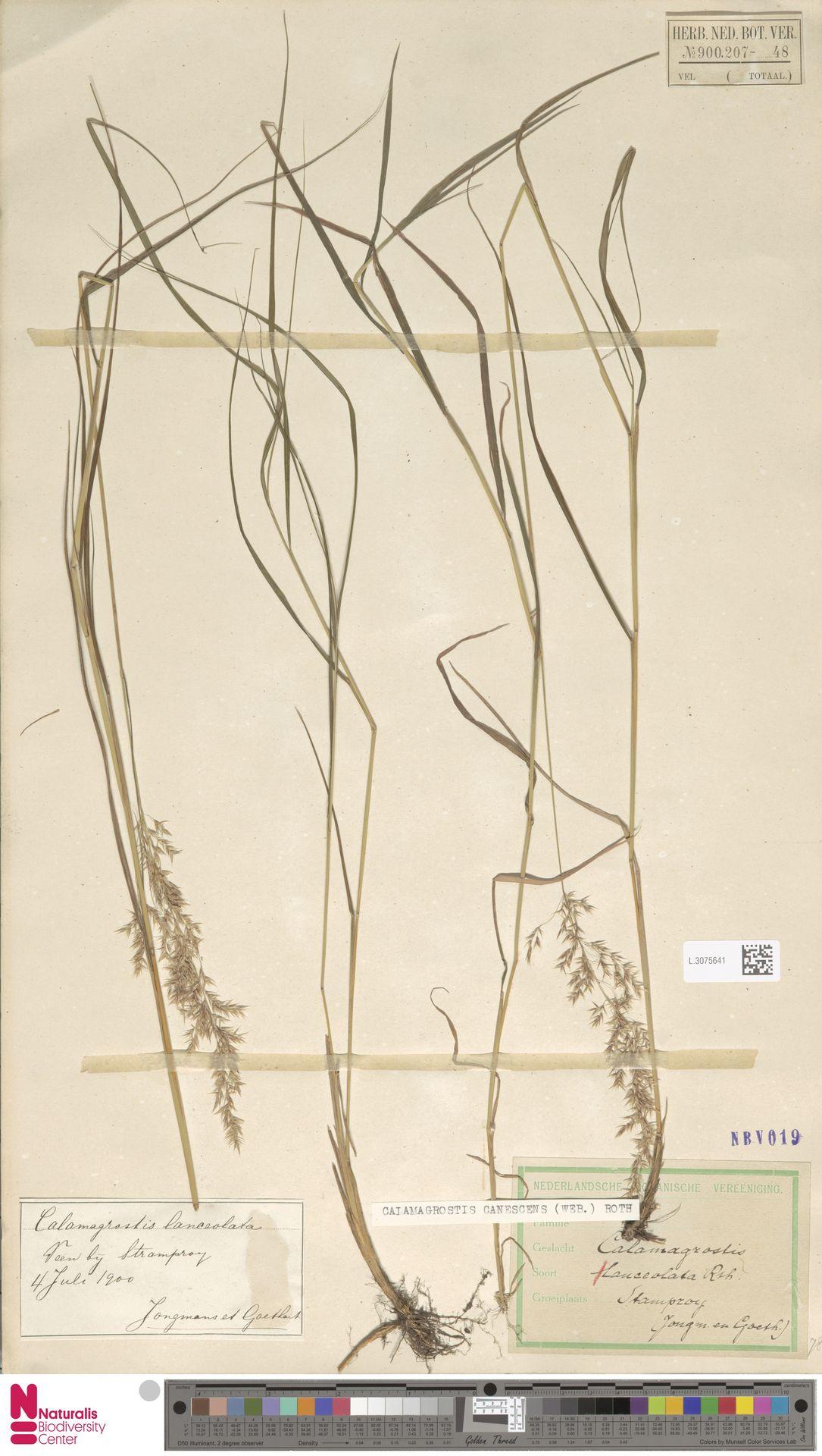 L.3075641 | Calamagrostis canescens (Weber) Roth