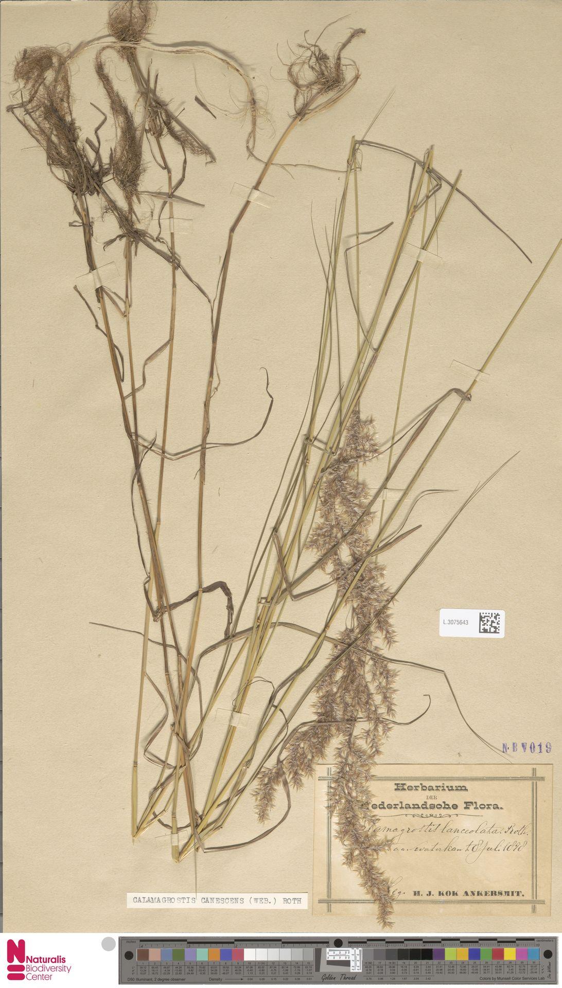 L.3075643 | Calamagrostis canescens (Weber) Roth