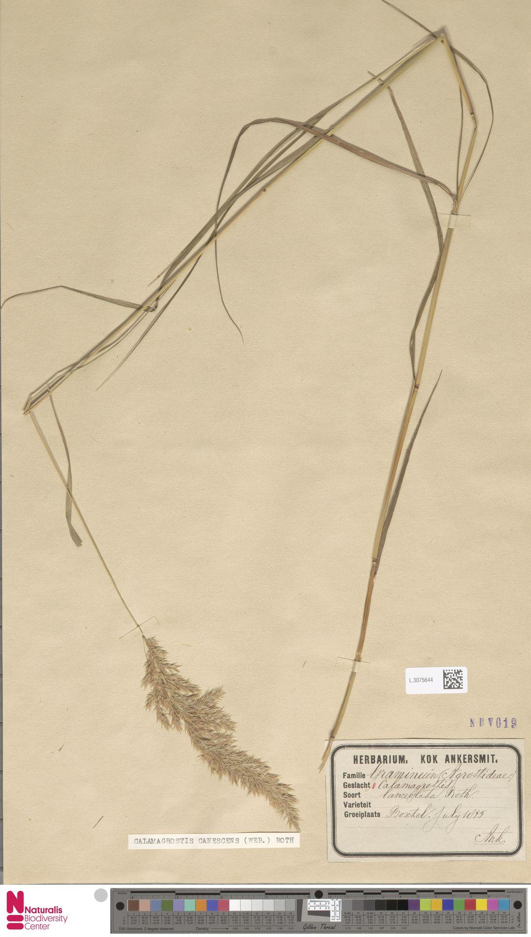 L.3075644 | Calamagrostis canescens (Weber) Roth