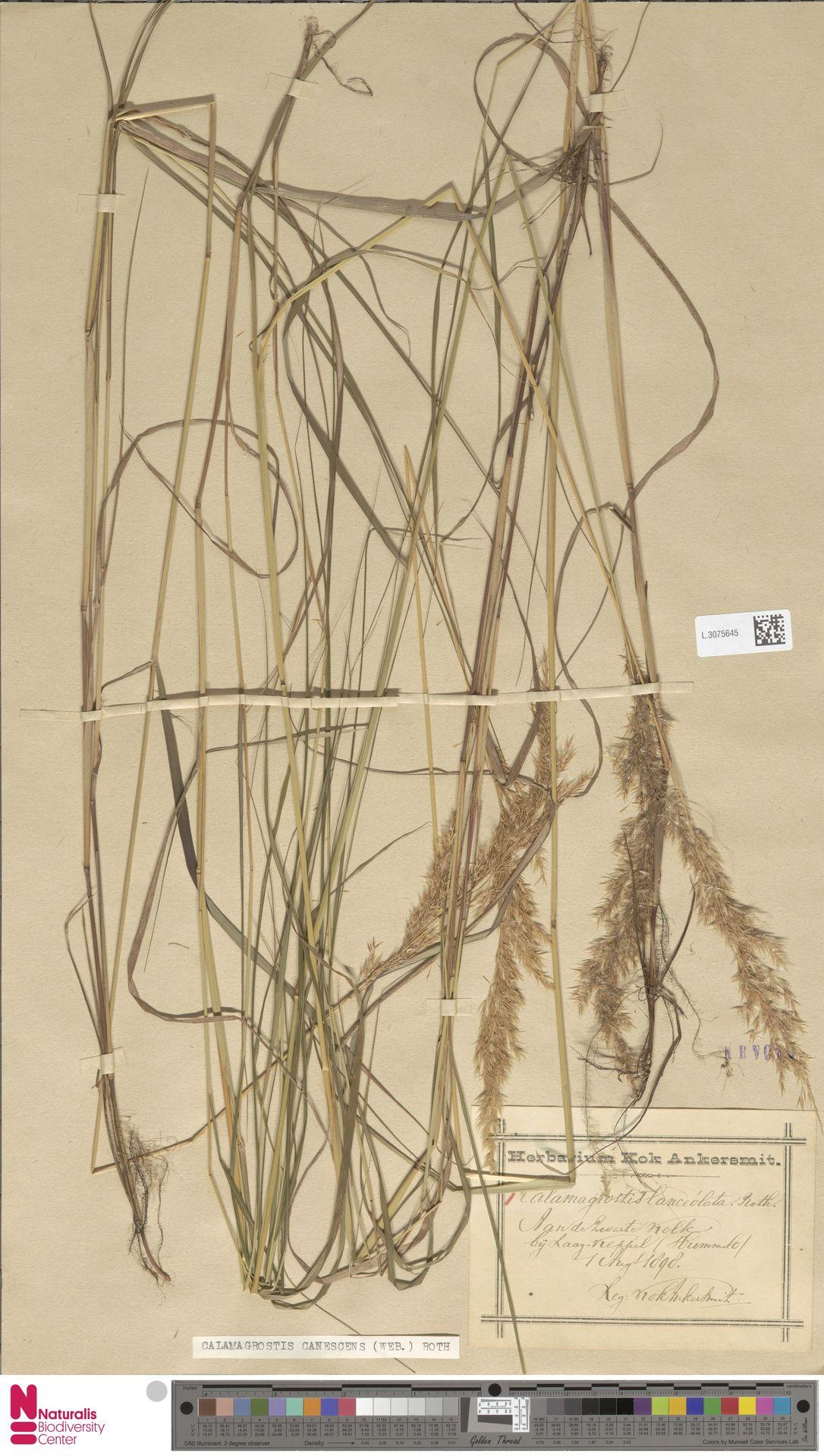 L.3075645 | Calamagrostis canescens (Weber) Roth