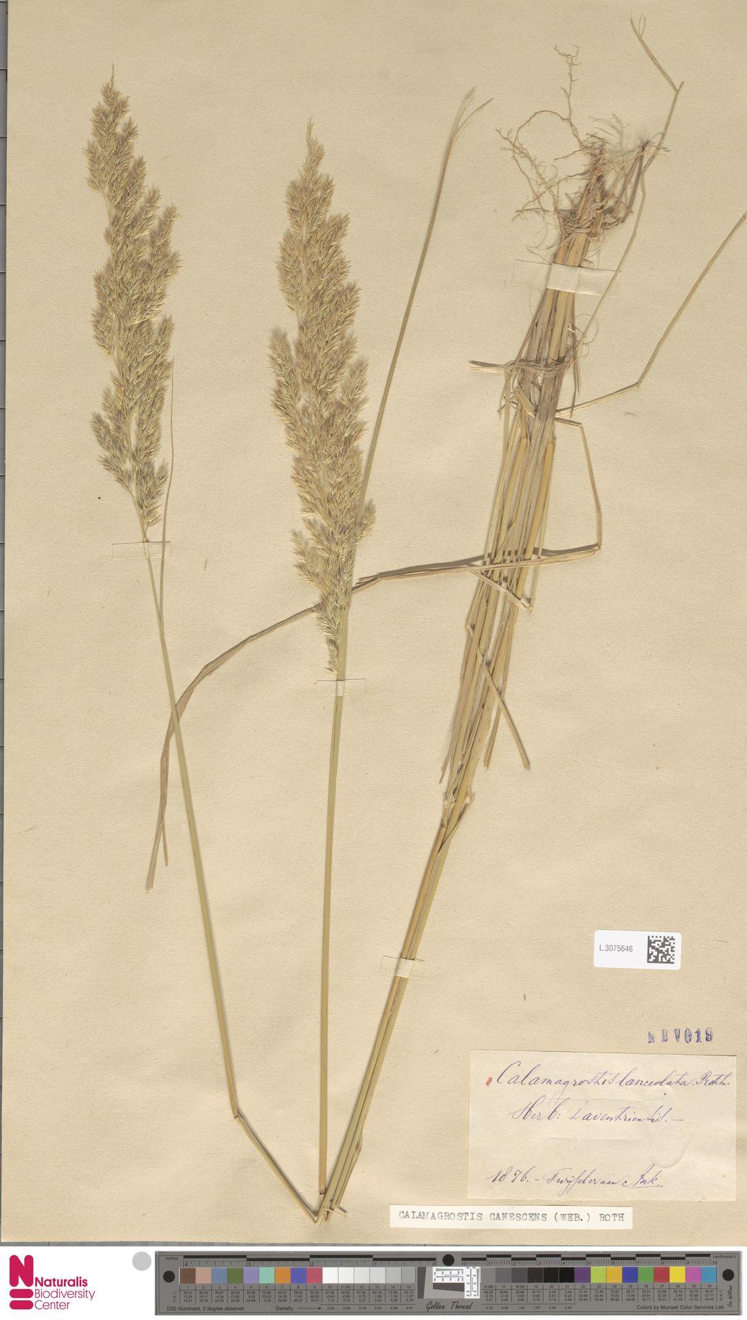 L.3075646 | Calamagrostis canescens (Weber) Roth