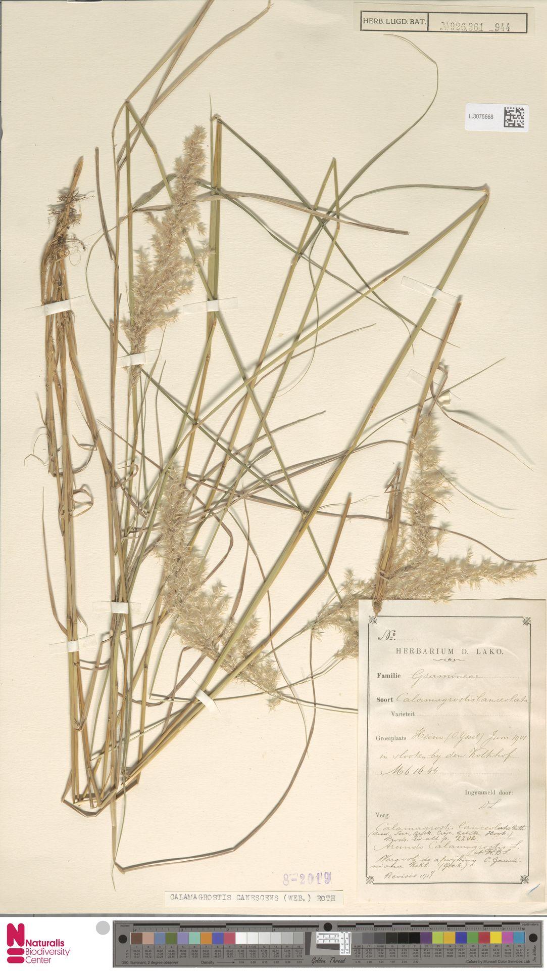 L.3075668 | Calamagrostis canescens (Weber) Roth