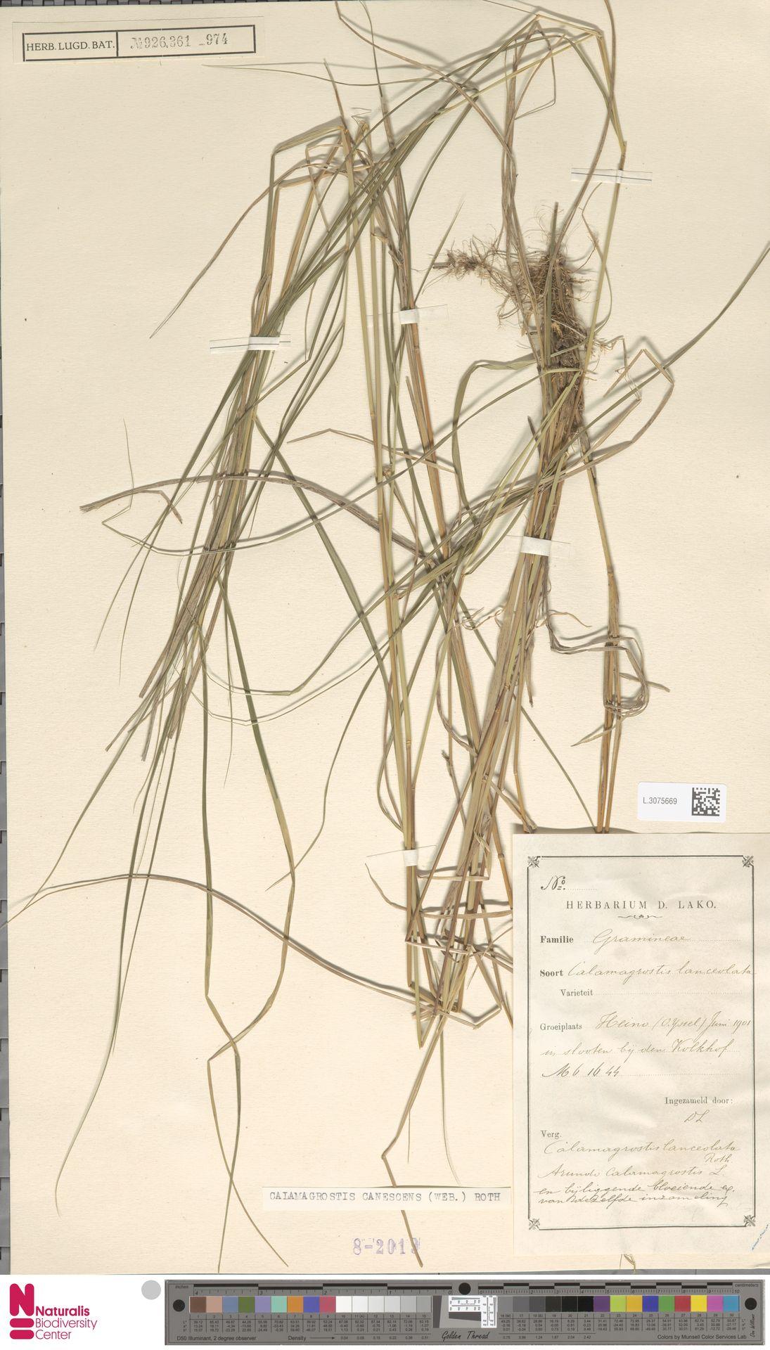 L.3075669 | Calamagrostis canescens (Weber) Roth