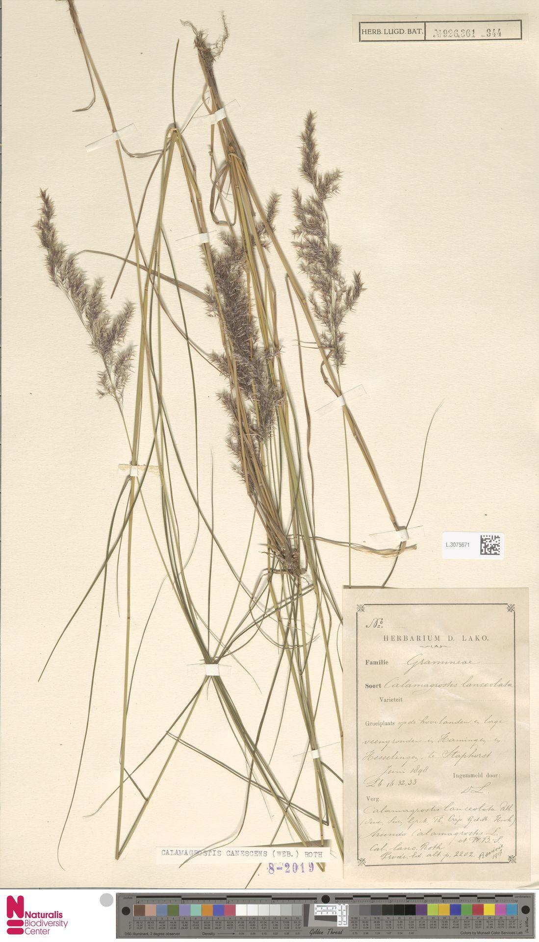 L.3075671 | Calamagrostis canescens (Weber) Roth
