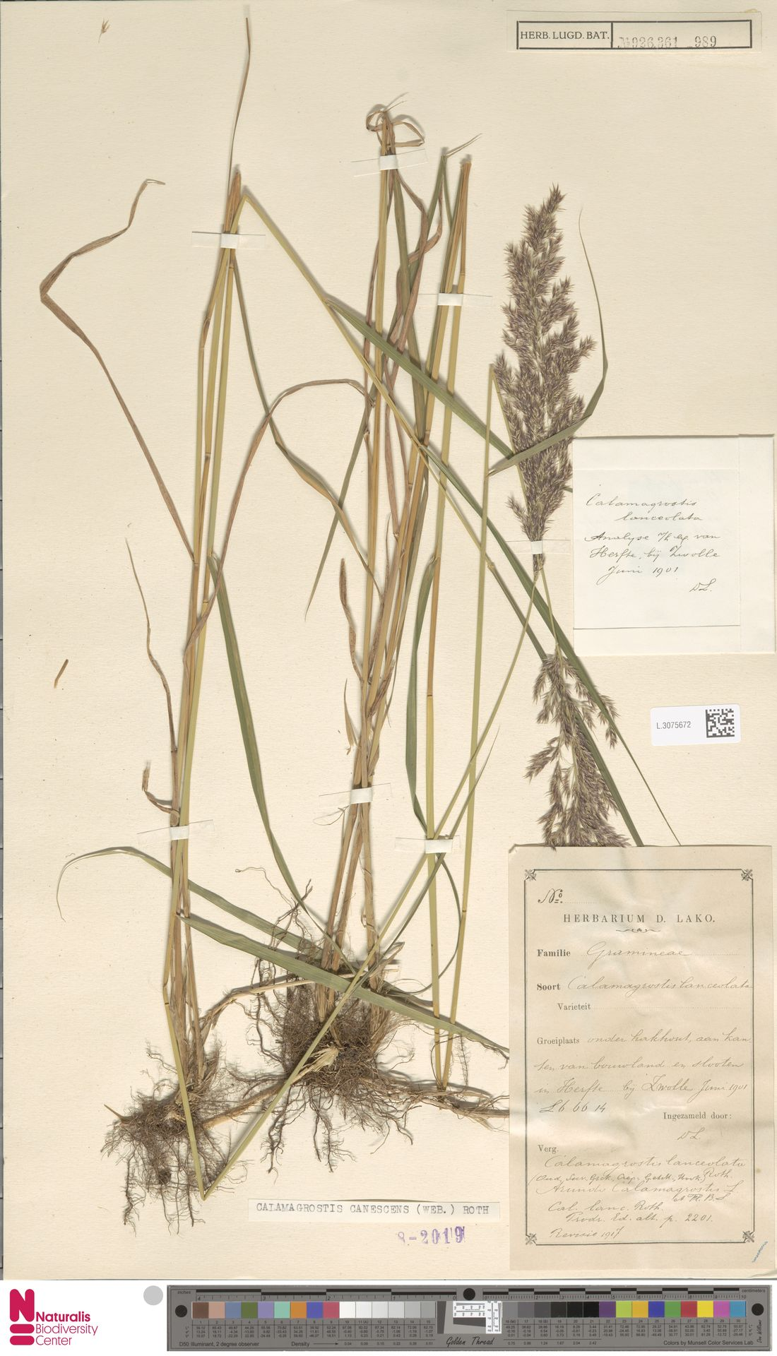 L.3075672 | Calamagrostis canescens (Weber) Roth