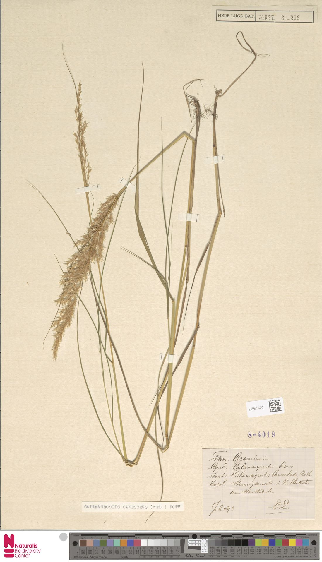 L.3075676 | Calamagrostis canescens (Weber) Roth