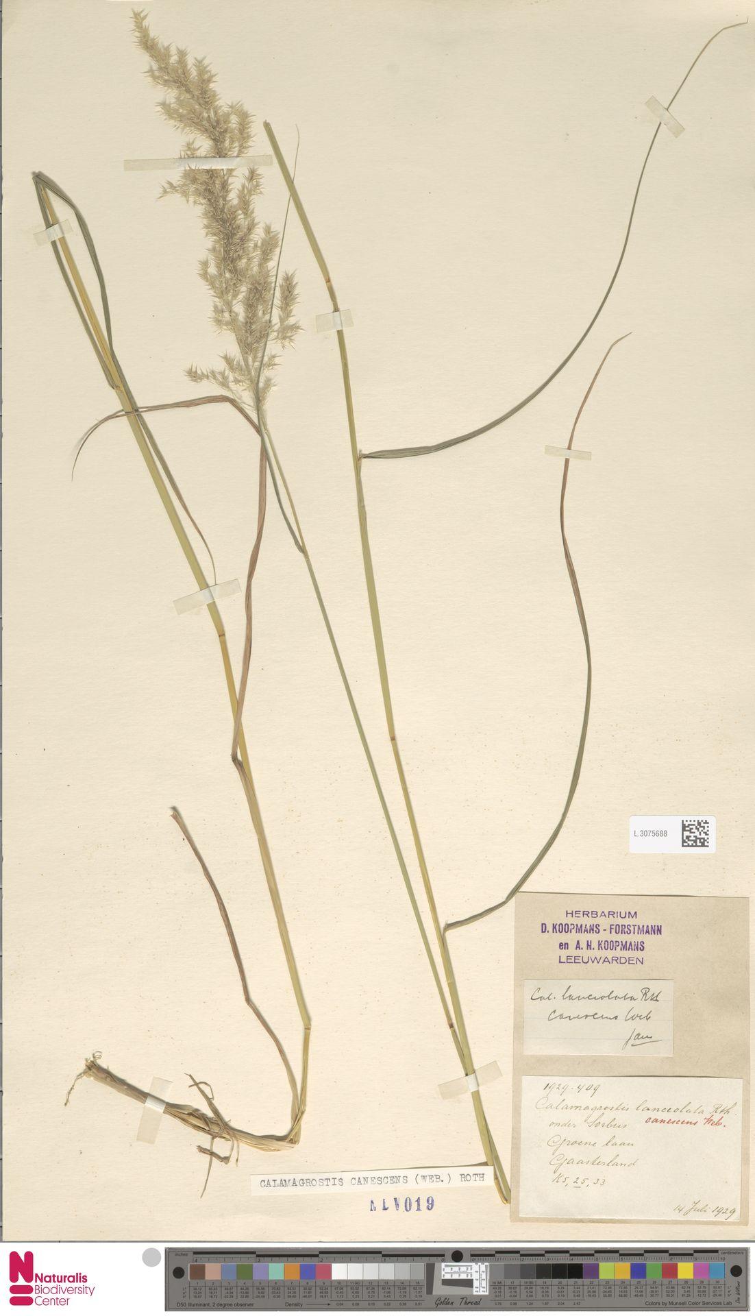L.3075688   Calamagrostis canescens (Weber) Roth