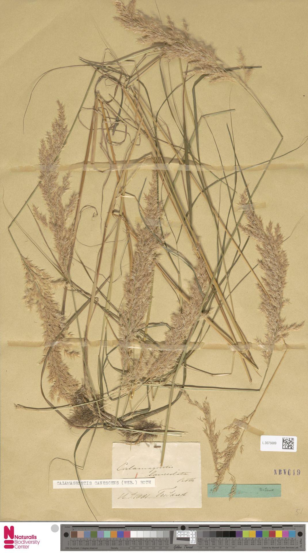 L.3075689 | Calamagrostis canescens (Weber) Roth