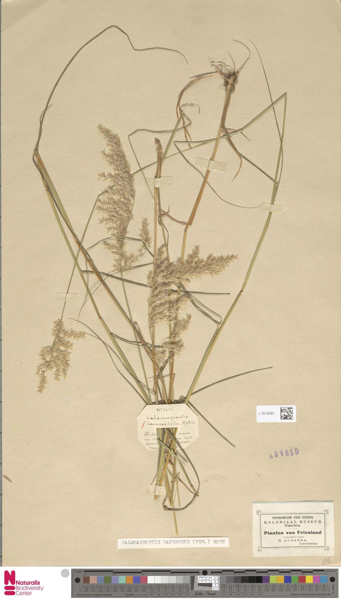 L.3075690 | Calamagrostis canescens (Weber) Roth