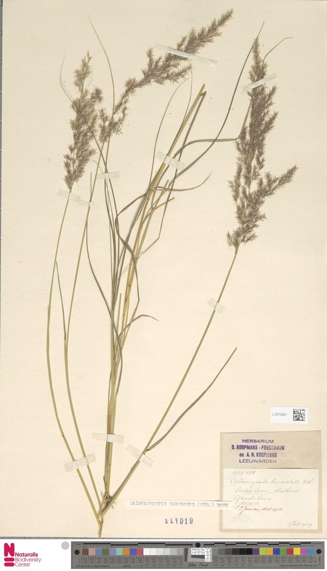 L.3075691 | Calamagrostis canescens (Weber) Roth