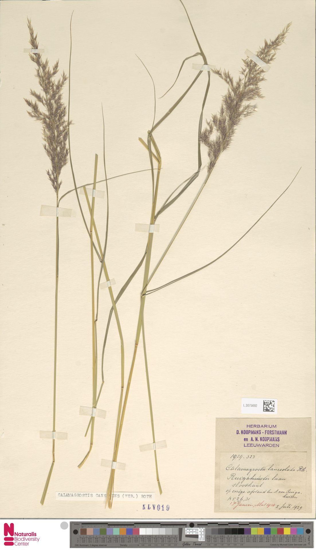 L.3075692   Calamagrostis canescens (Weber) Roth