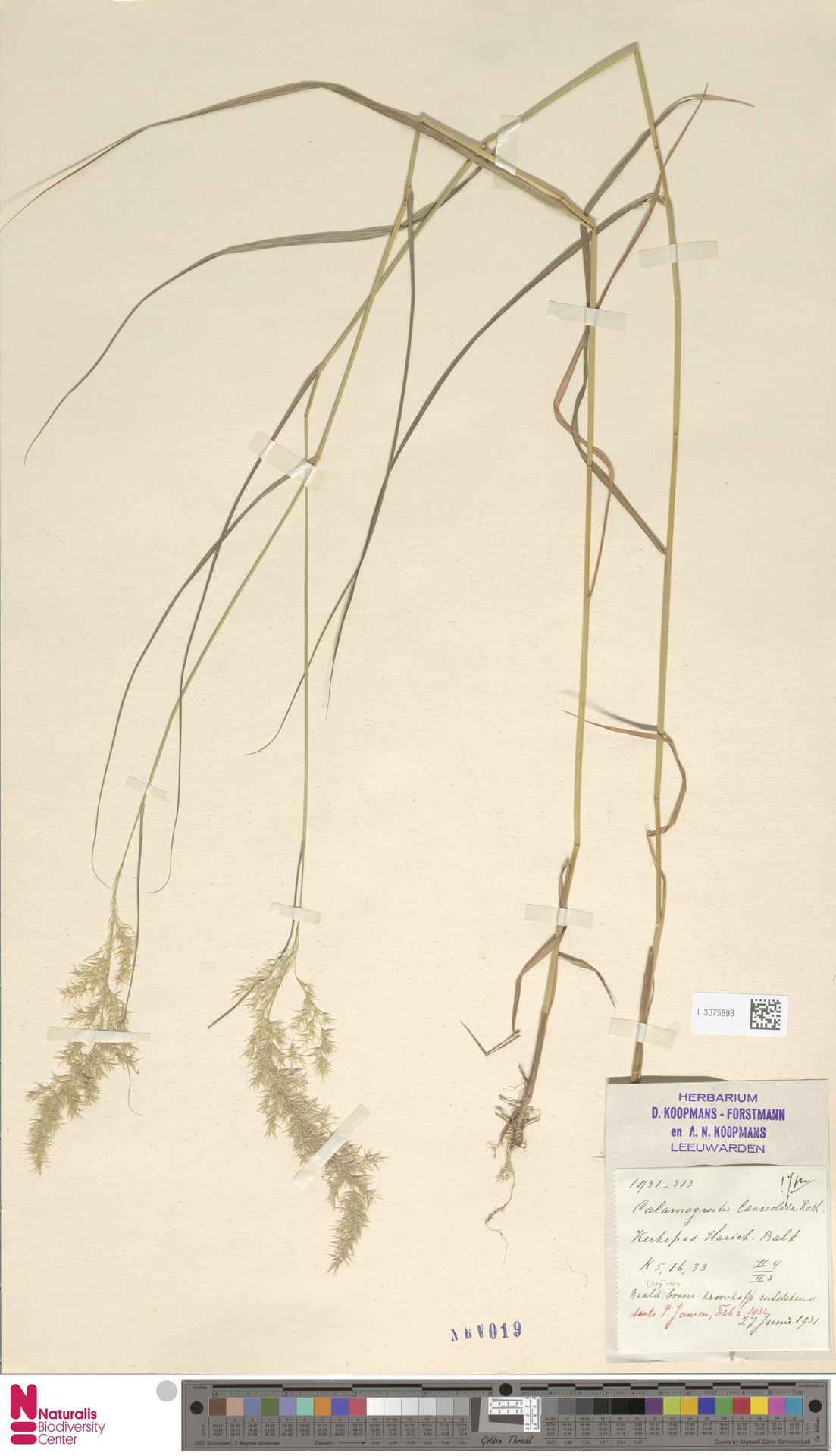 L.3075693 | Calamagrostis canescens (Weber) Roth