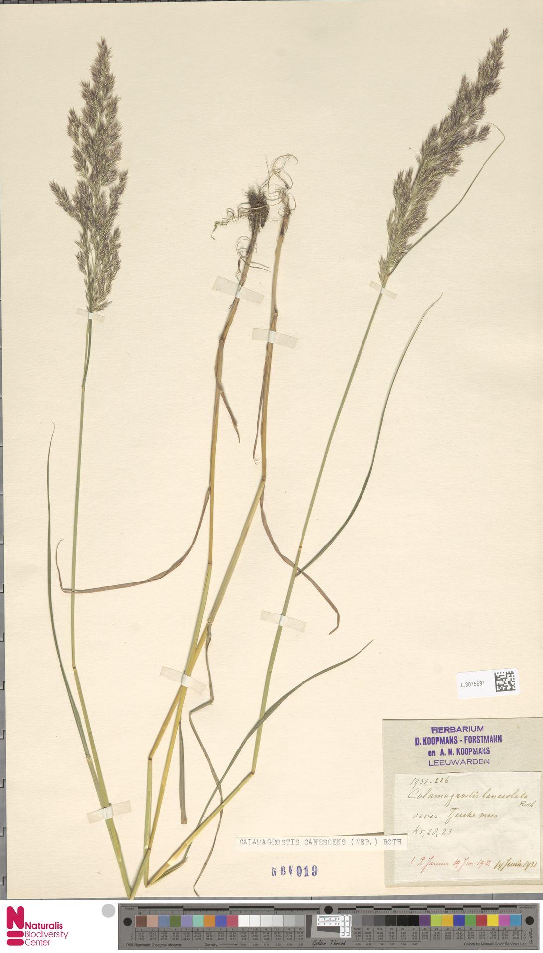 L.3075697 | Calamagrostis canescens (Weber) Roth