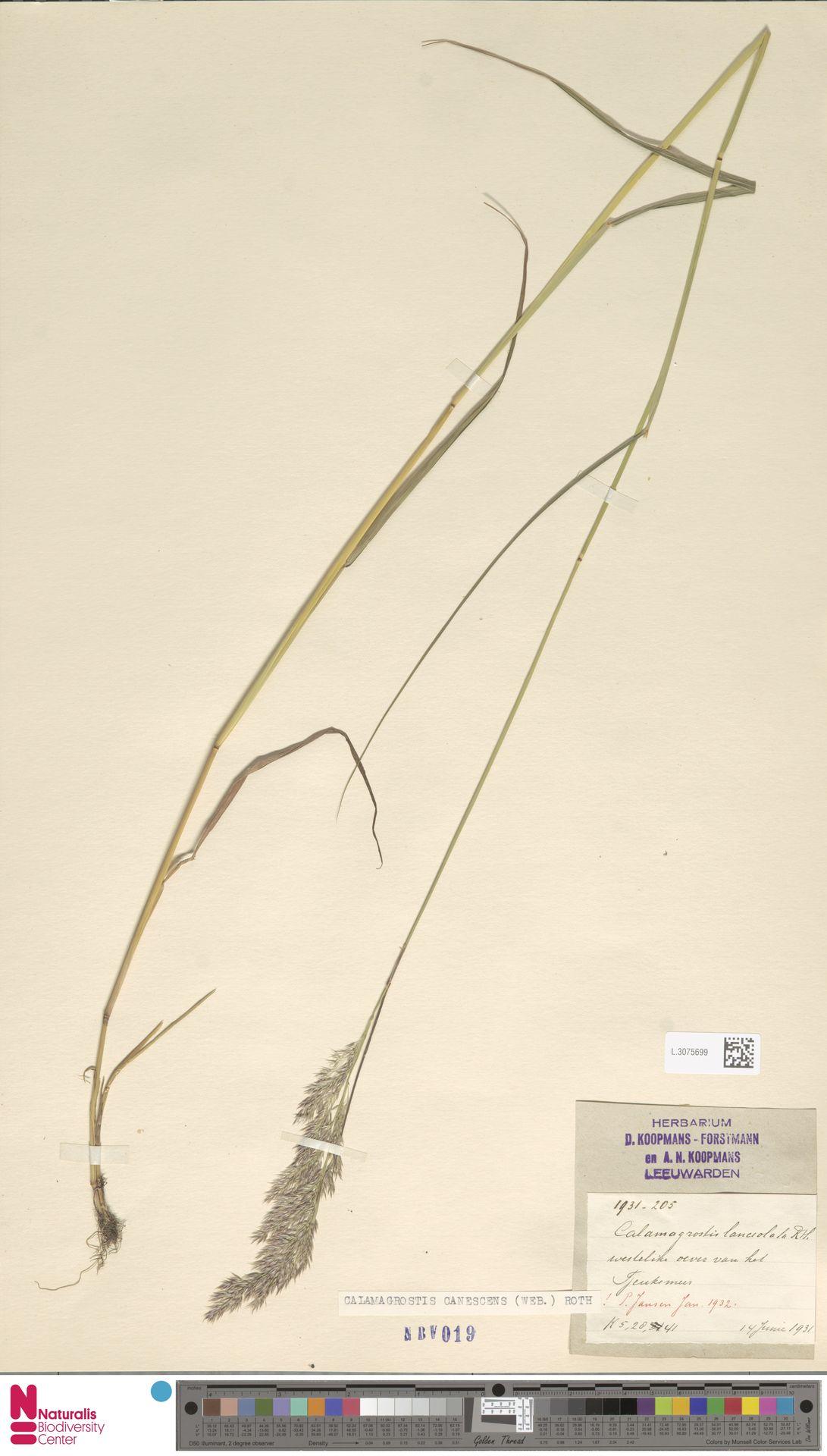 L.3075699 | Calamagrostis canescens (Weber) Roth