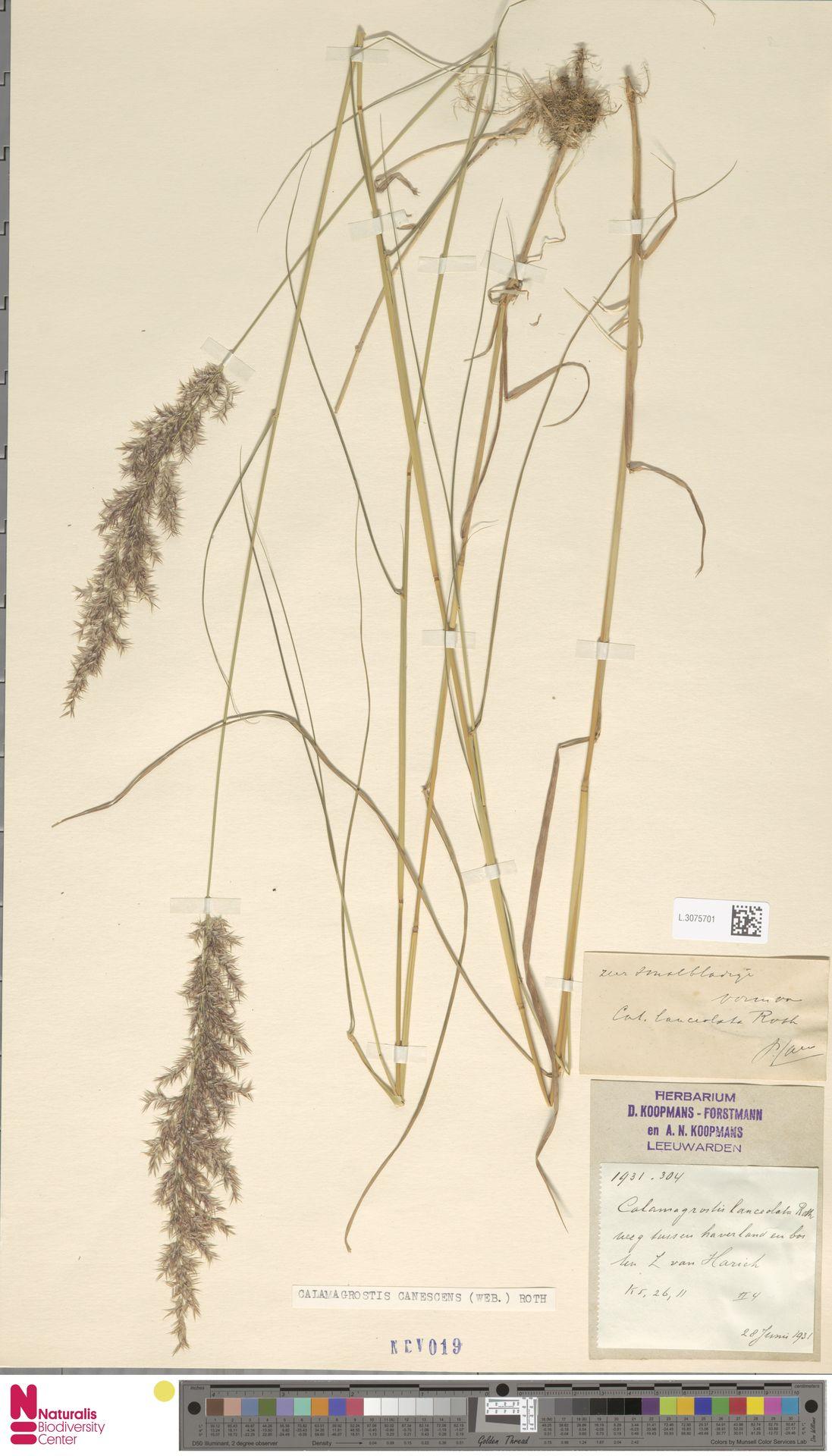 L.3075701 | Calamagrostis canescens (Weber) Roth