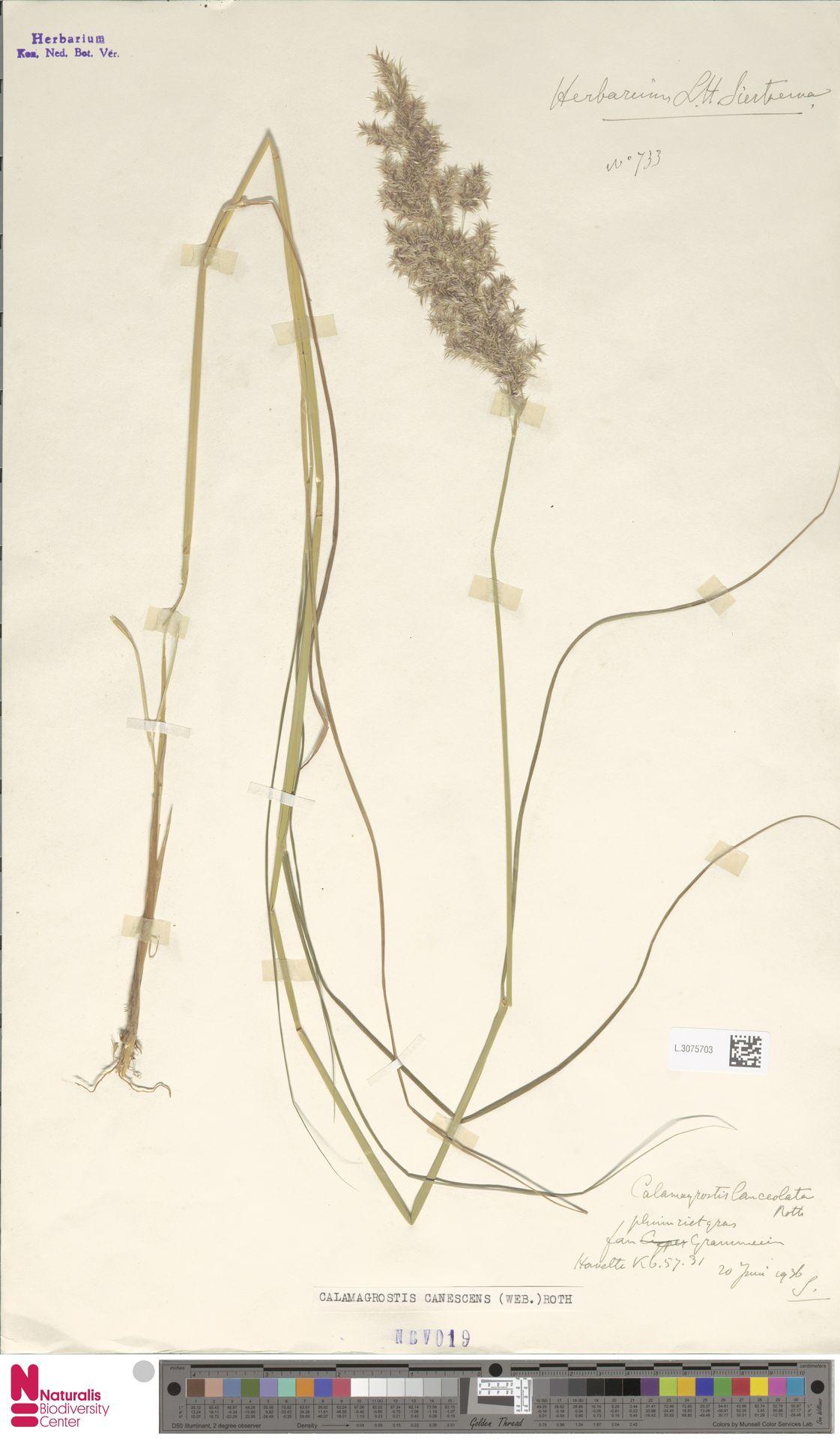 L.3075703 | Calamagrostis canescens (Weber) Roth