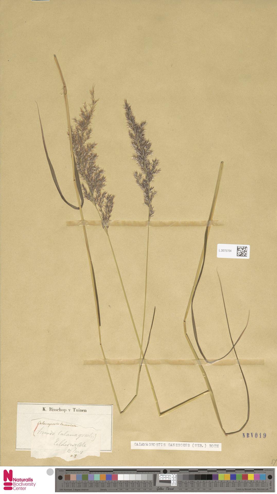 L.3075704 | Calamagrostis canescens (Weber) Roth