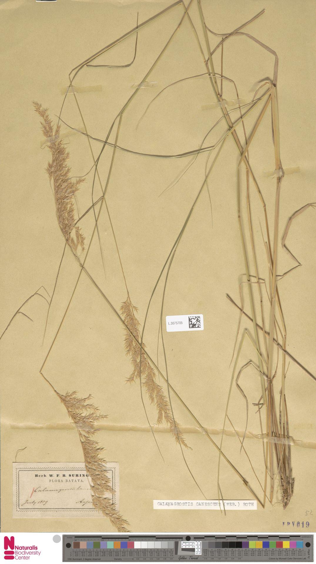 L.3075705 | Calamagrostis canescens (Weber) Roth
