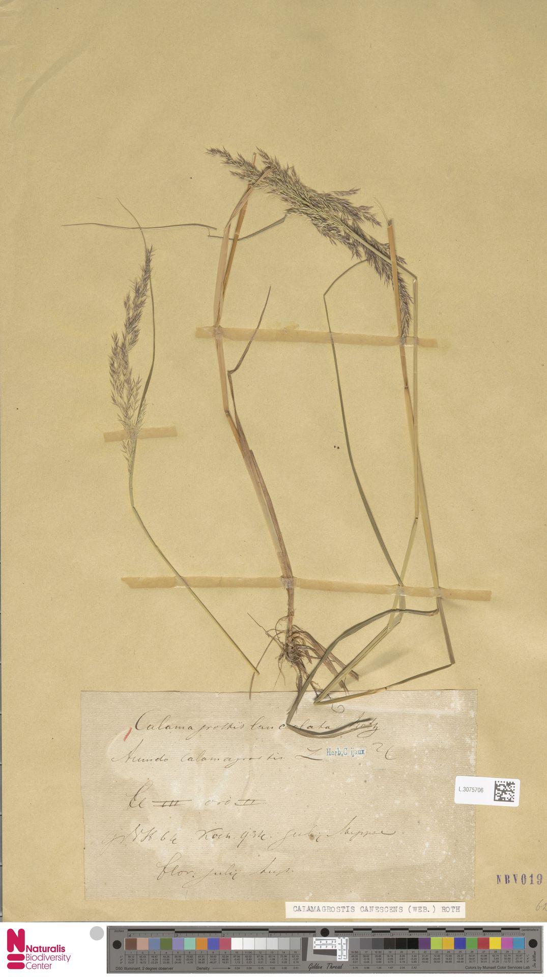L.3075706 | Calamagrostis canescens (Weber) Roth