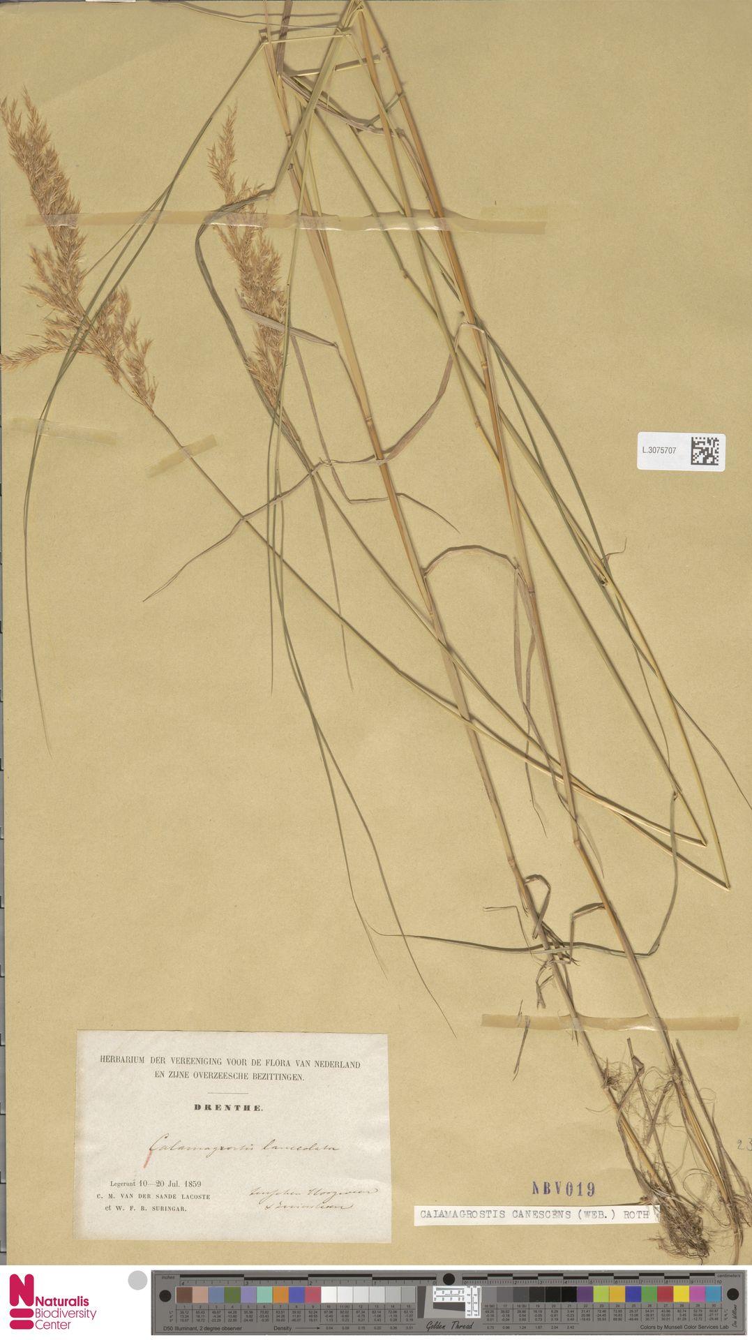 L.3075707   Calamagrostis canescens (Weber) Roth