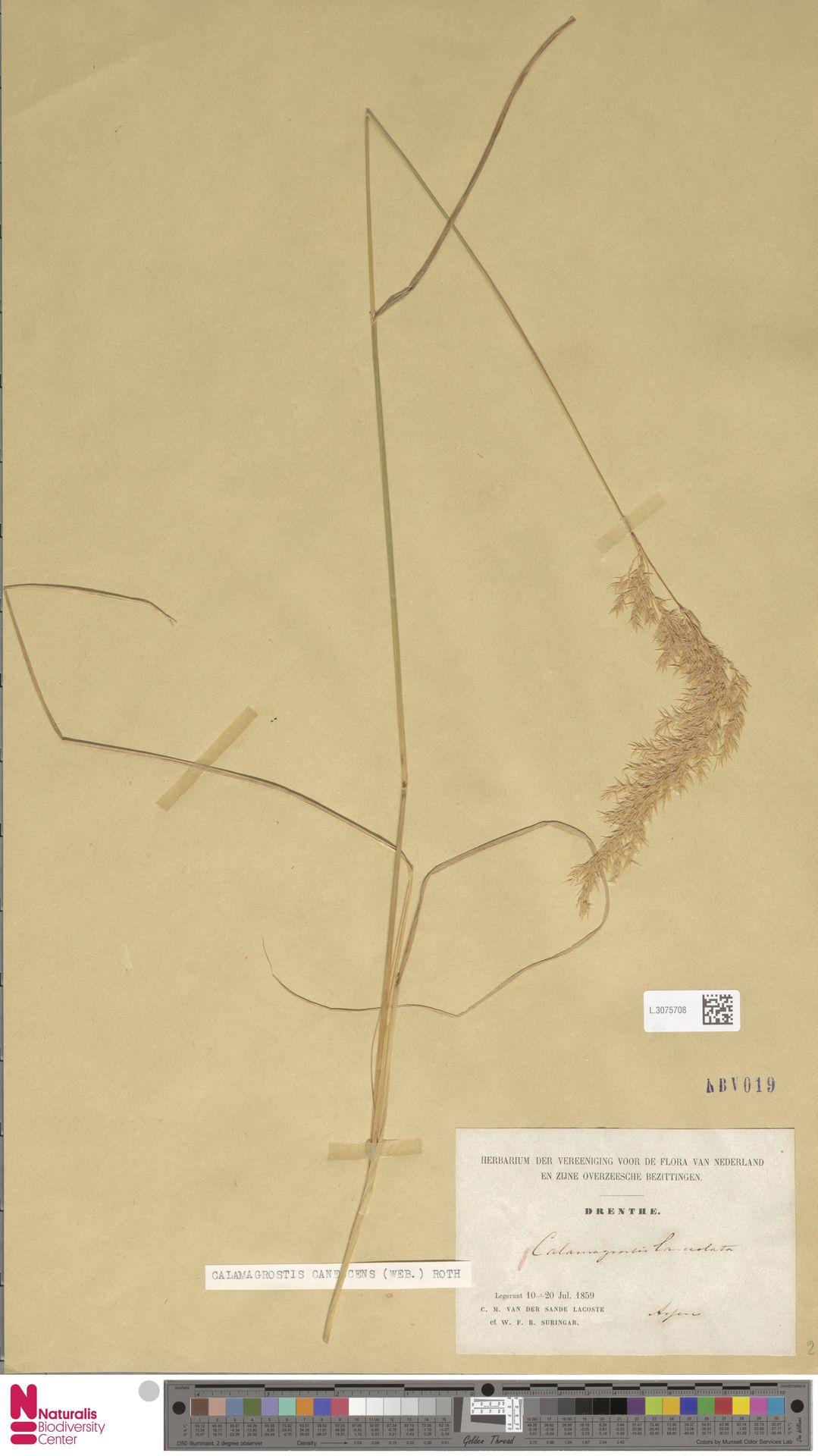 L.3075708 | Calamagrostis canescens (Weber) Roth