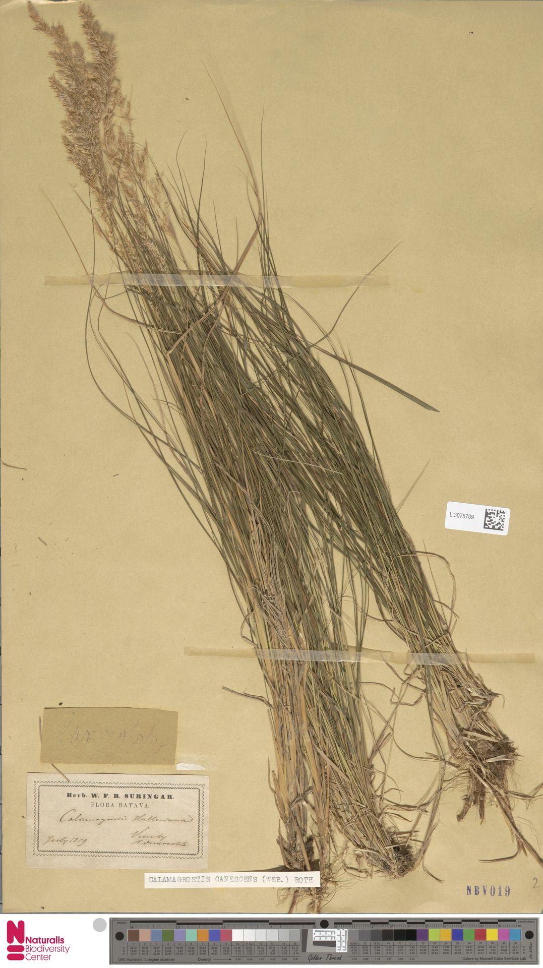 L.3075709   Calamagrostis canescens (Weber) Roth