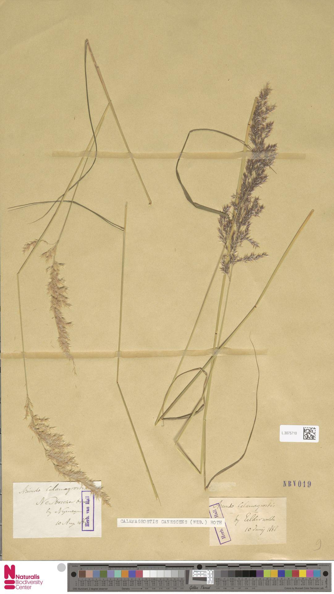 L.3075710 | Calamagrostis canescens (Weber) Roth