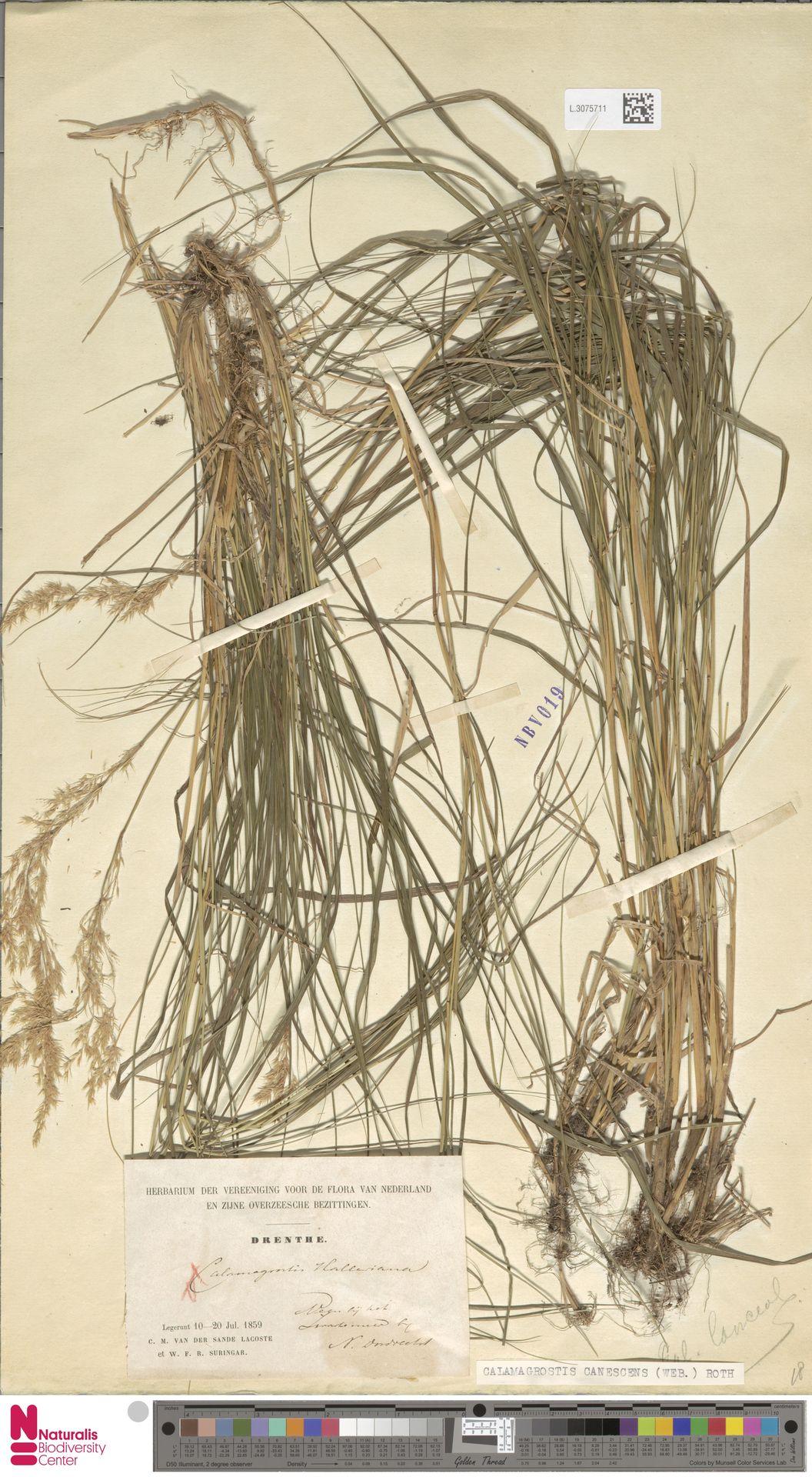 L.3075711 | Calamagrostis canescens (Weber) Roth