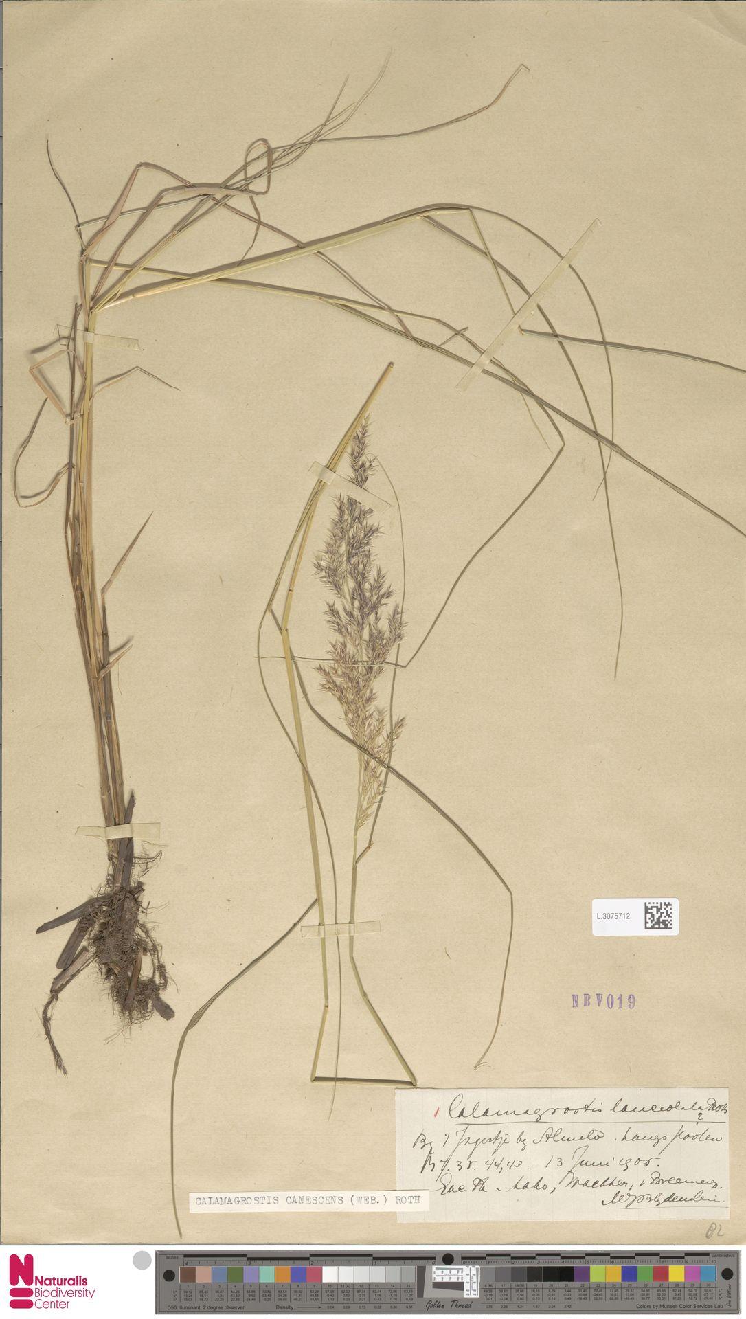 L.3075712 | Calamagrostis canescens (Weber) Roth