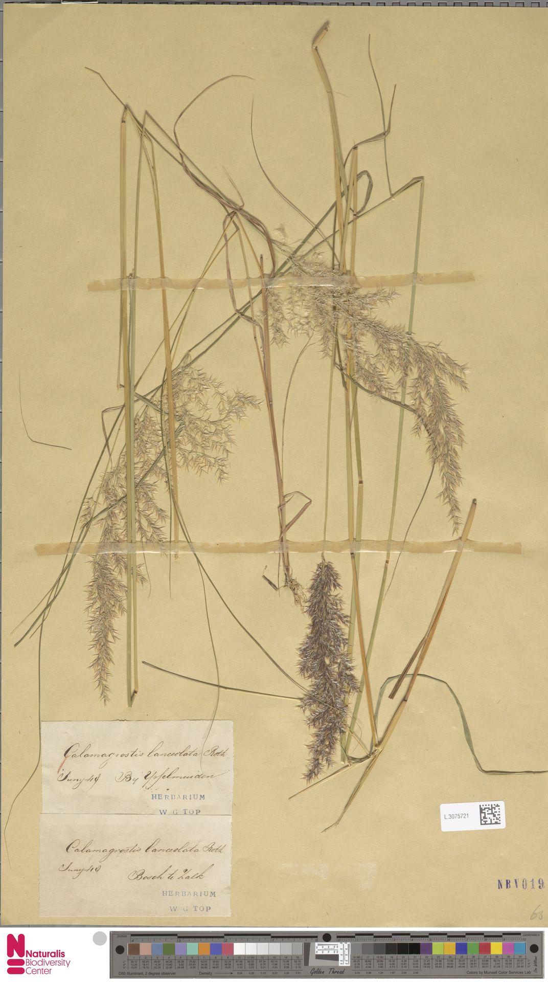 L.3075721 | Calamagrostis canescens (Weber) Roth