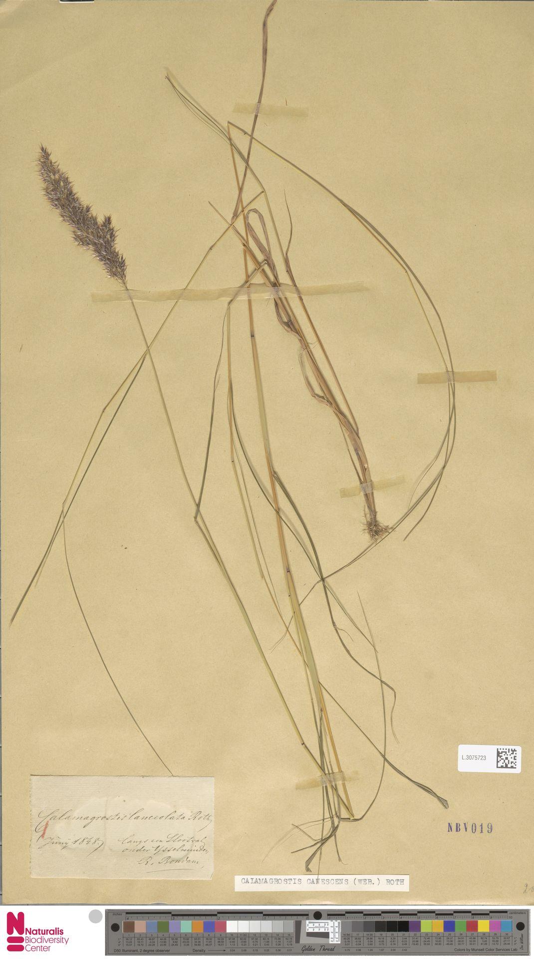 L.3075723   Calamagrostis canescens (Weber) Roth