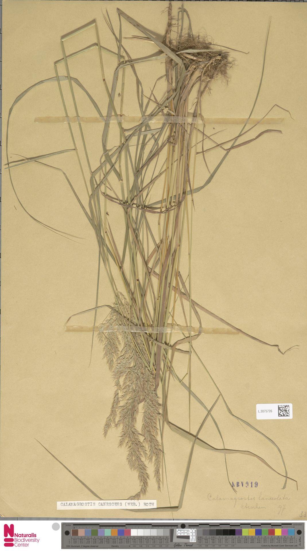 L.3075726 | Calamagrostis canescens (Weber) Roth