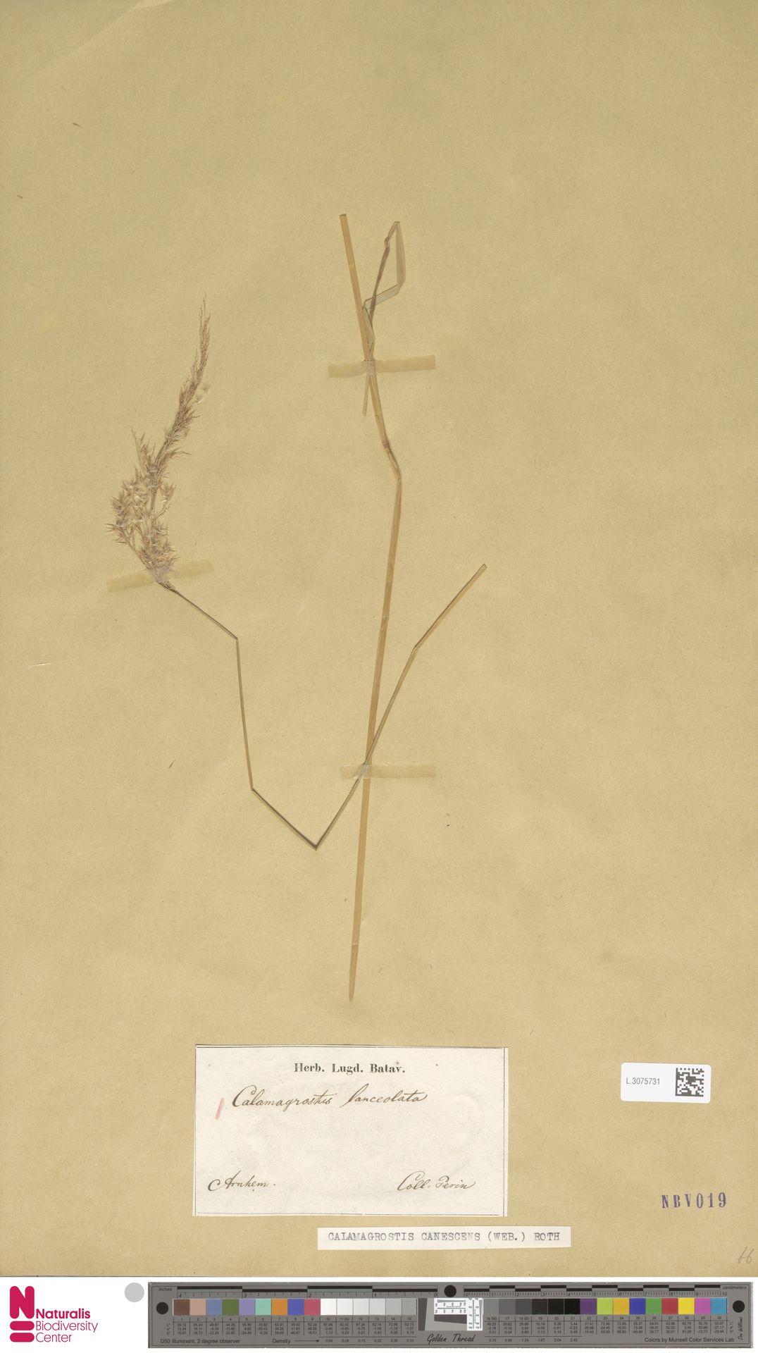 L.3075731 | Calamagrostis canescens (Weber) Roth