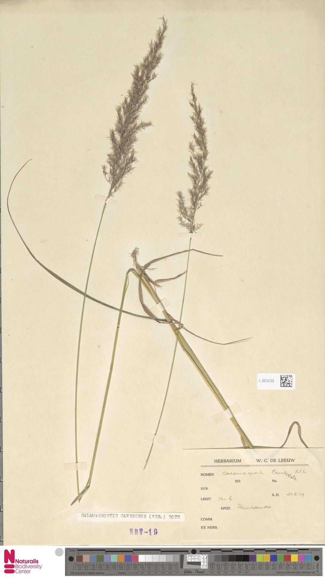 L.3075733 | Calamagrostis canescens (Weber) Roth