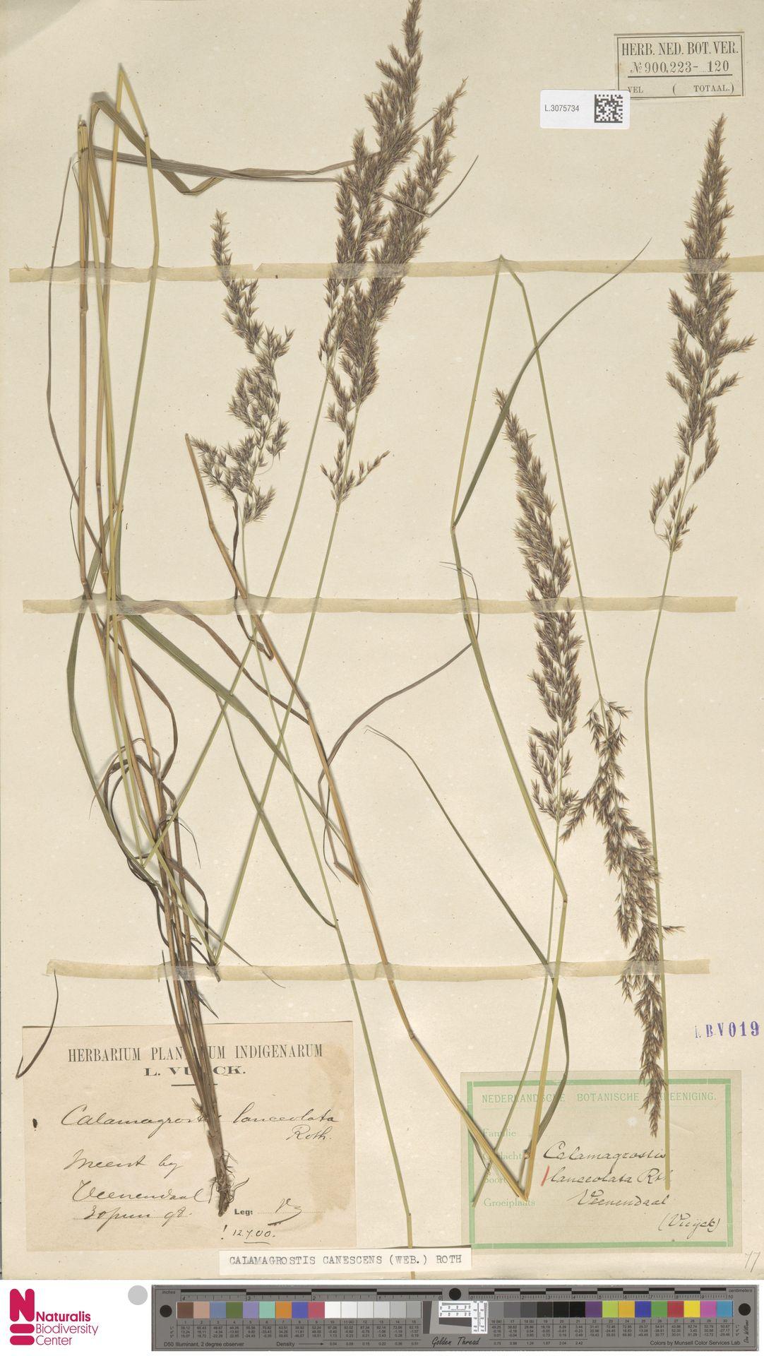 L.3075734 | Calamagrostis canescens (Weber) Roth
