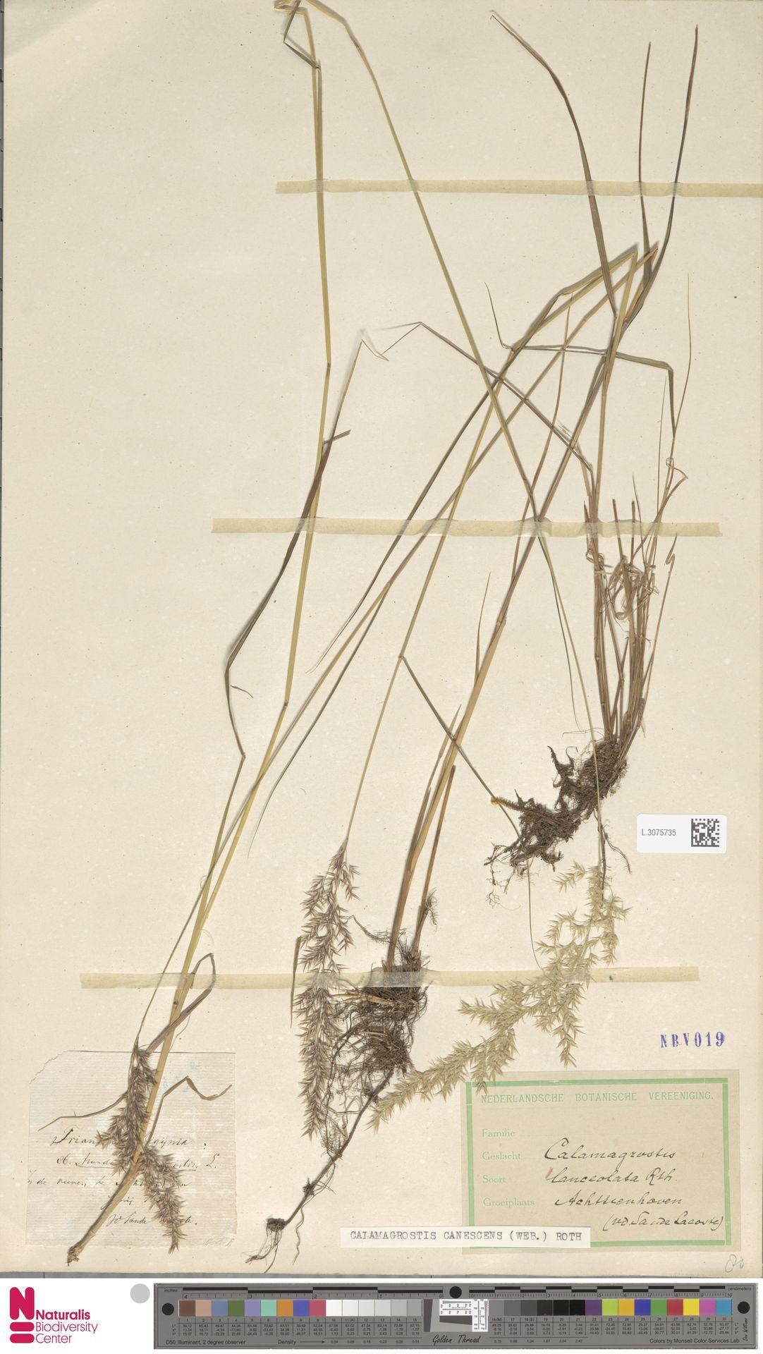 L.3075735 | Calamagrostis canescens (Weber) Roth