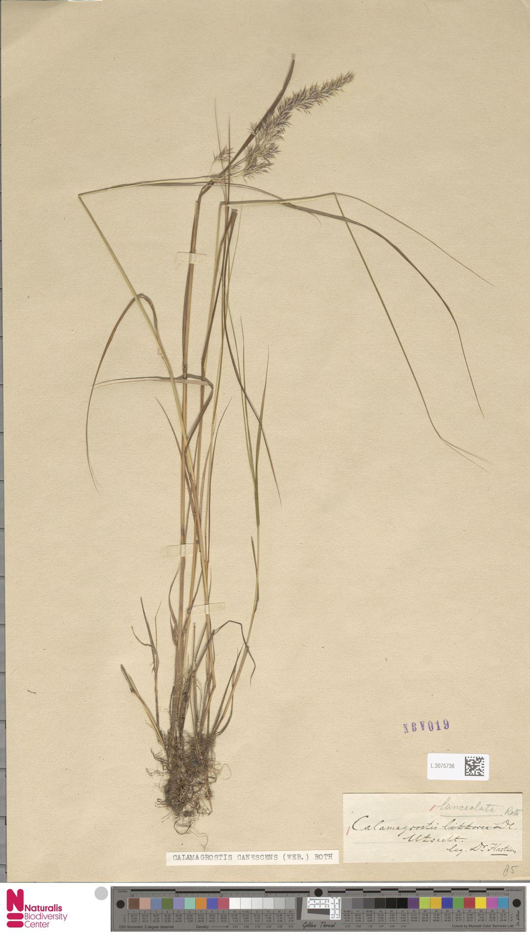 L.3075736   Calamagrostis canescens (Weber) Roth