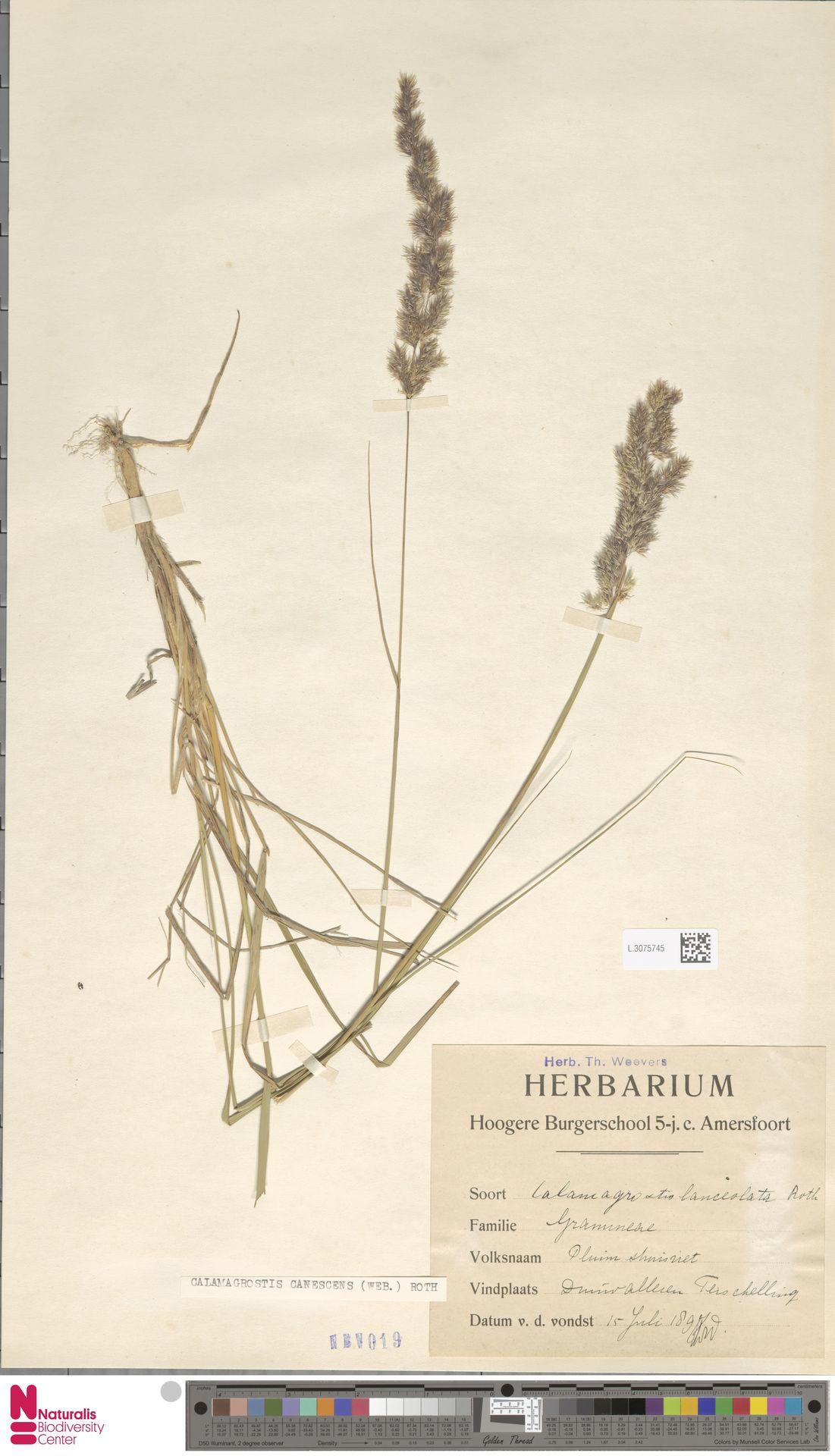 L.3075745 | Calamagrostis canescens (Weber) Roth