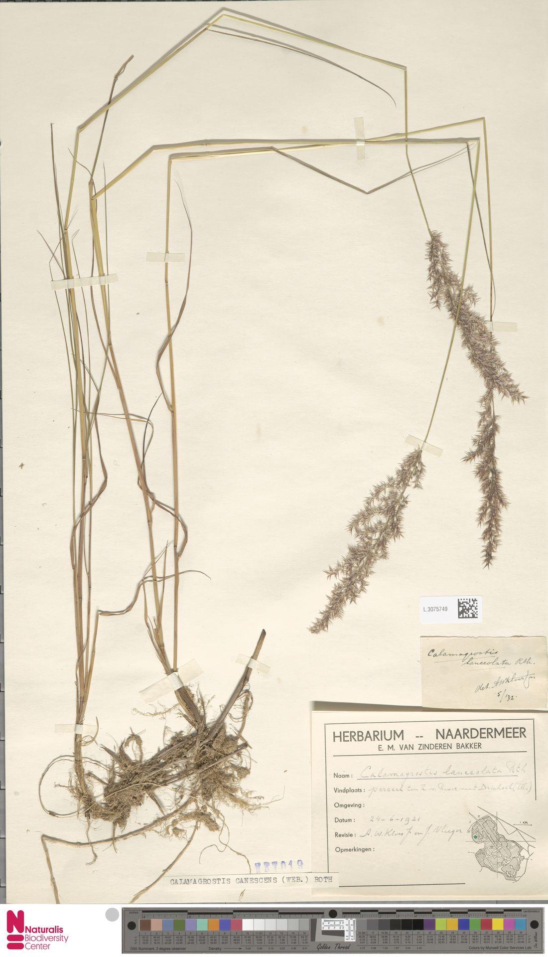 L.3075749 | Calamagrostis canescens (Weber) Roth