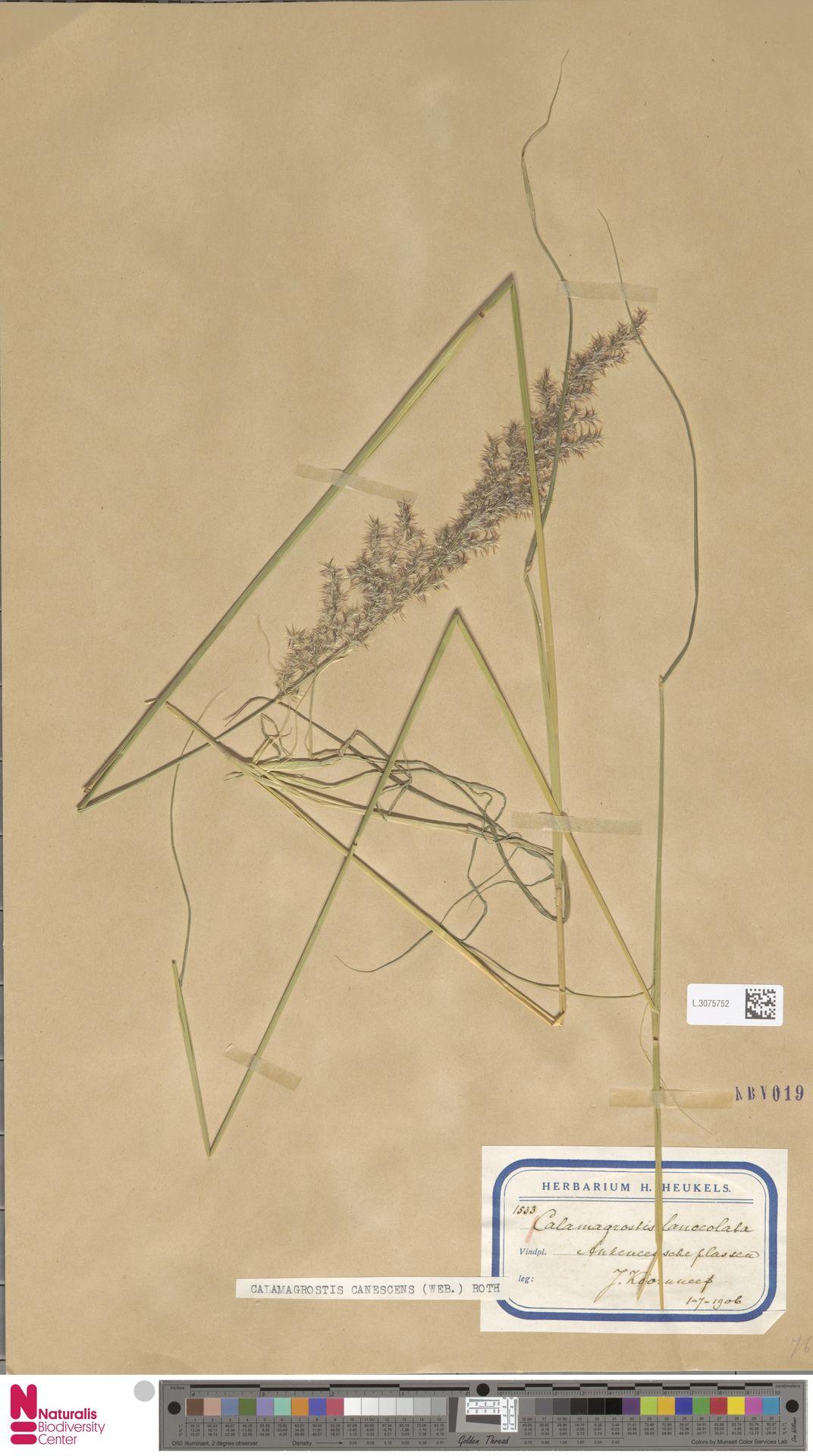 L.3075752   Calamagrostis canescens (Weber) Roth
