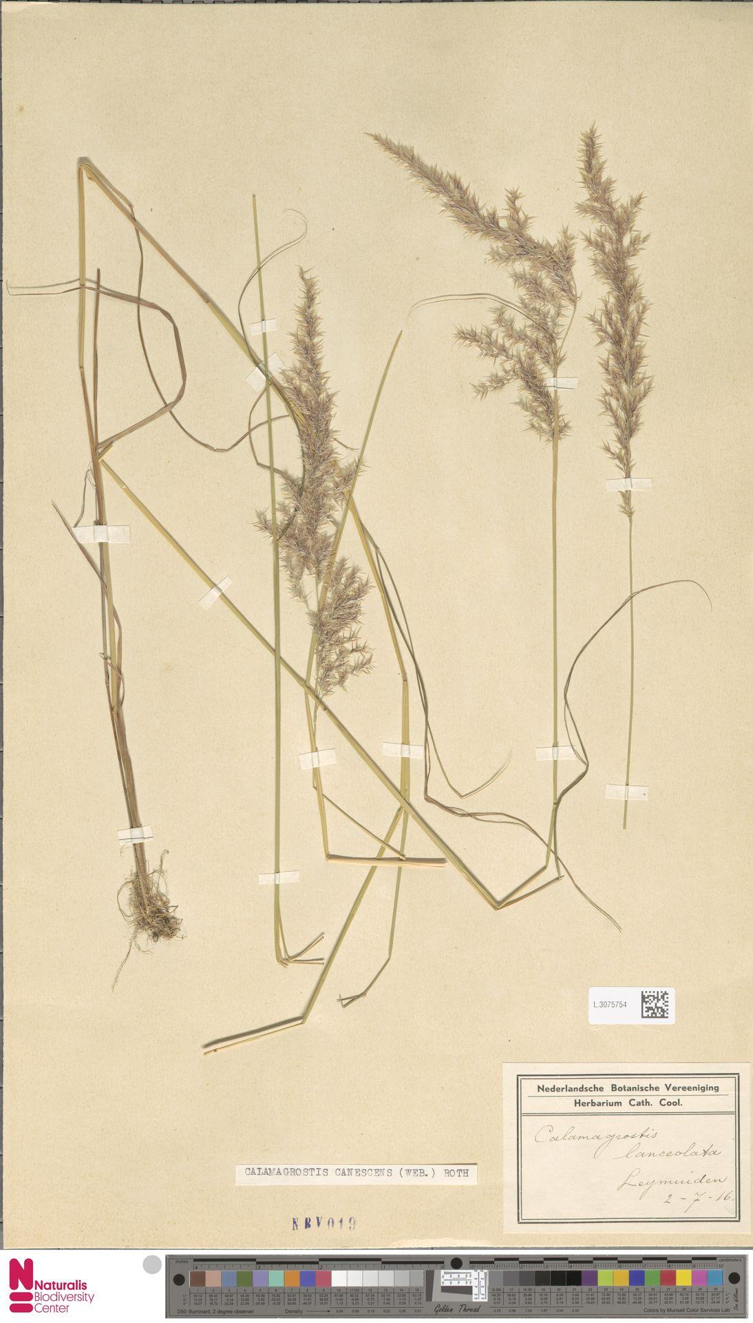L.3075754 | Calamagrostis canescens (Weber) Roth
