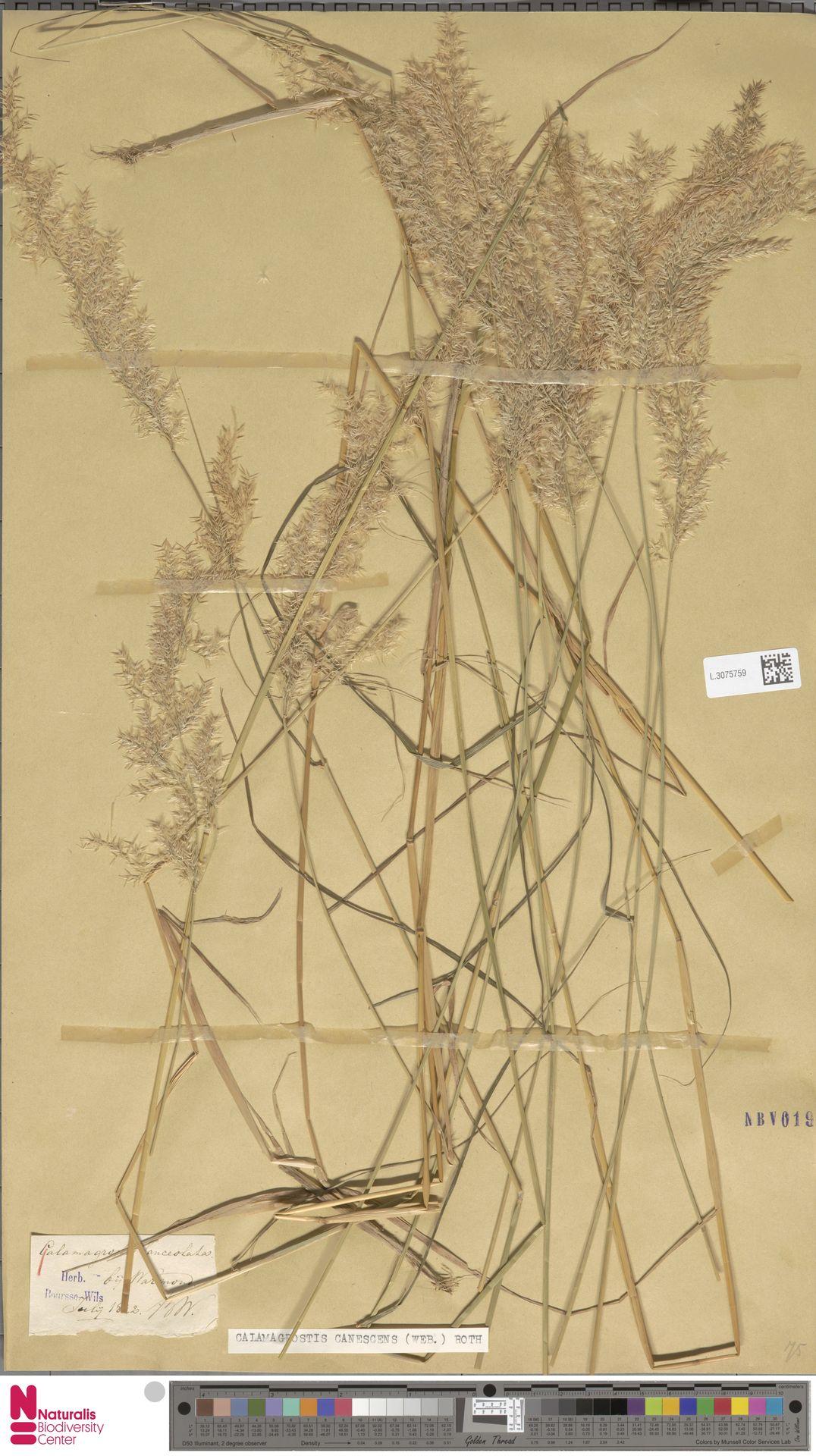 L.3075759 | Calamagrostis canescens (Weber) Roth