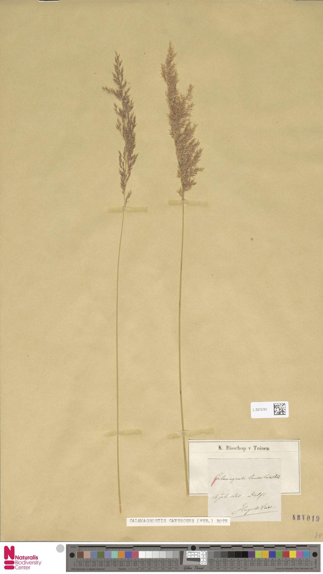 L.3075761 | Calamagrostis canescens (Weber) Roth